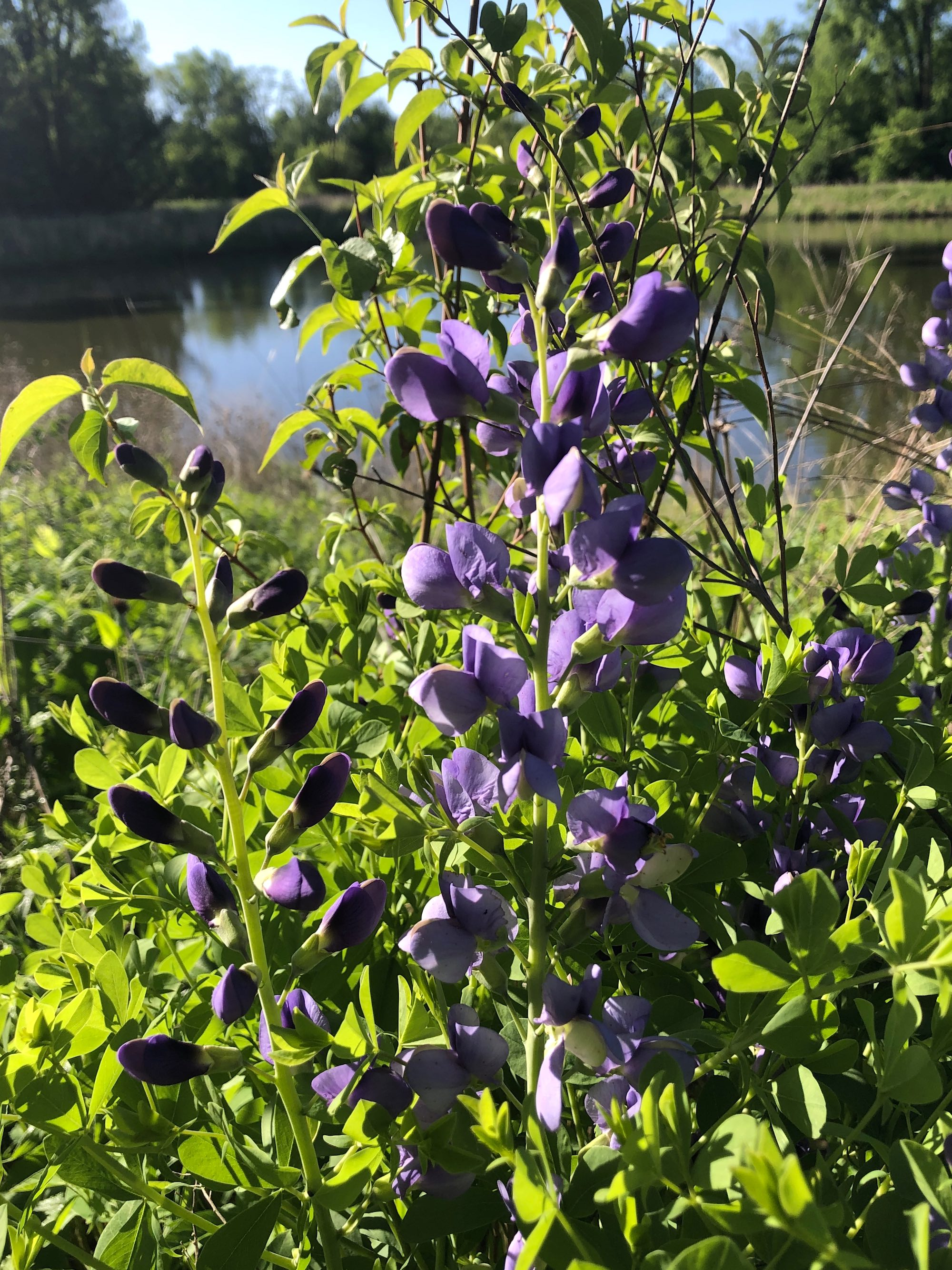 Blue False Indigo on bank of Retaining Pond on corner of Nakoma Road and Manitou Way on May 30, 2020.