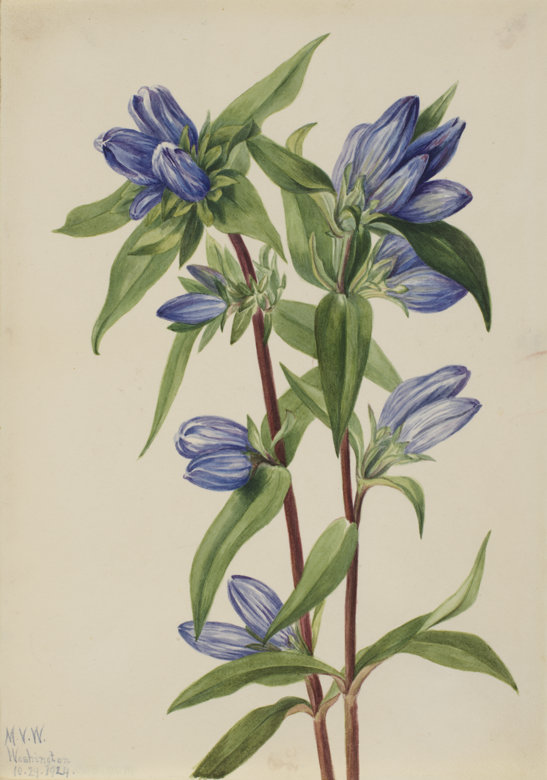 1924 Closed Gentian illustration by Mary Vaux Walcott.