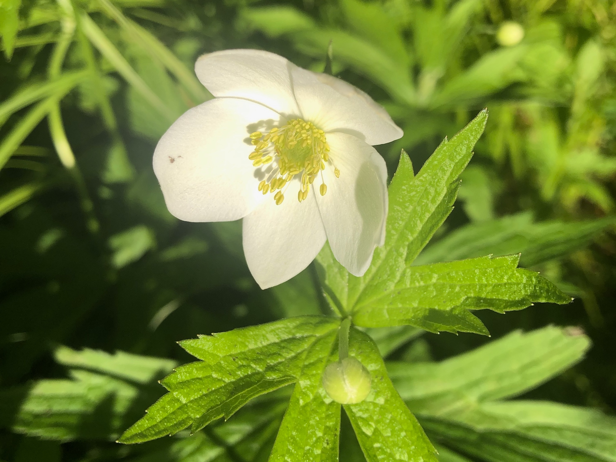 Canada anemone in Thoreau Rain Garden in Madison, Wisconsin on May 29, 2020.