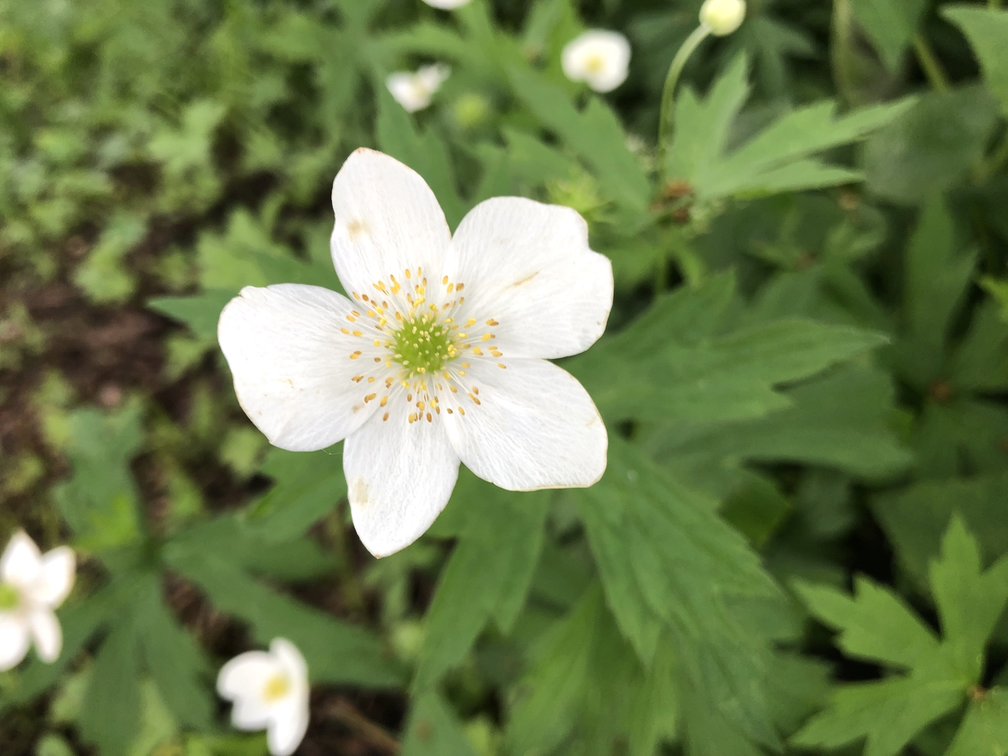 Canada anemone in Thoreau Rain Garden in Madison, Wisconsin on June 16, 2019.