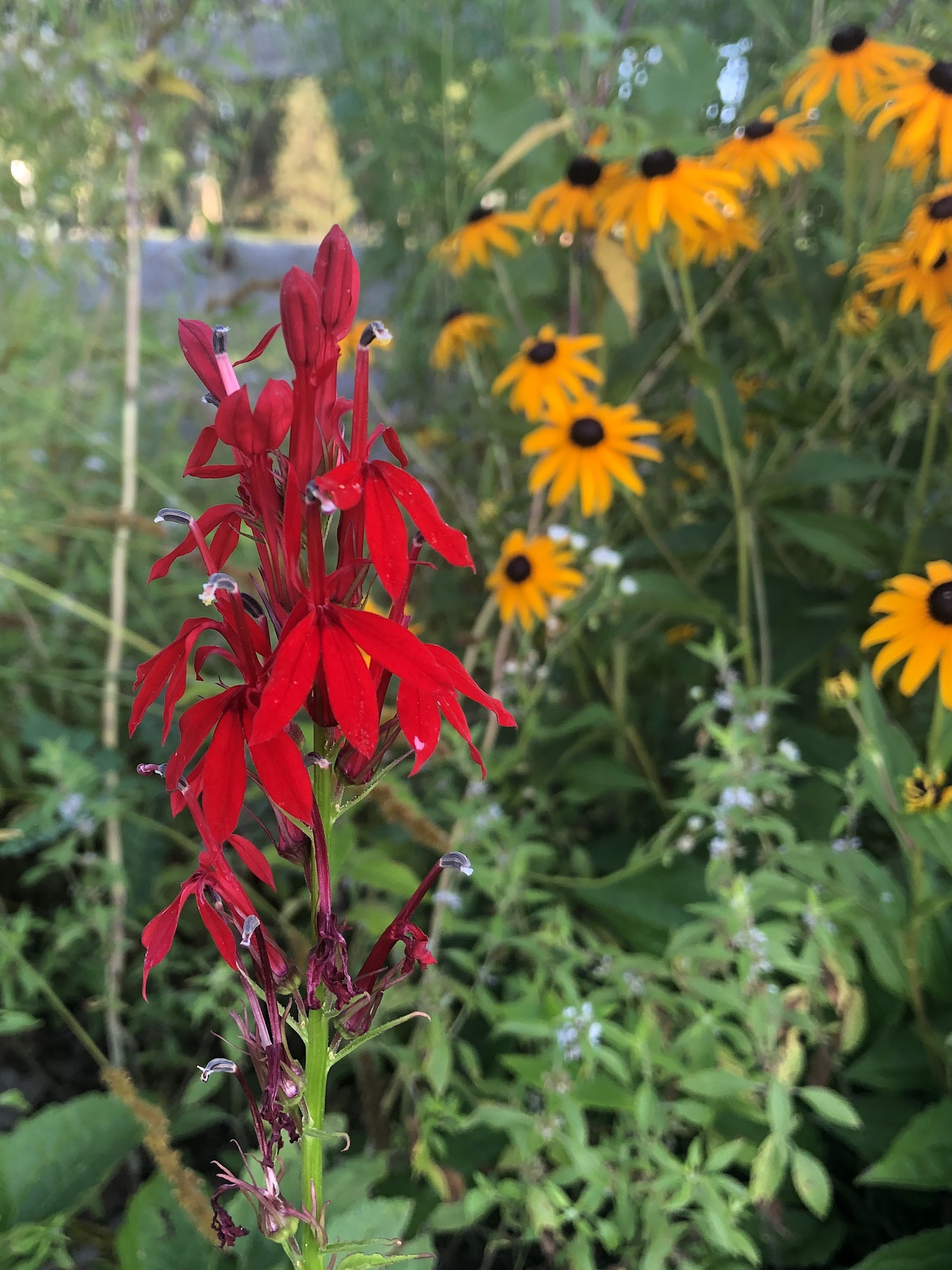 Cardinal Flower on shore of Lake Wingra in Wingra Park in Madison, Wisconsin on July 29, 2019.
