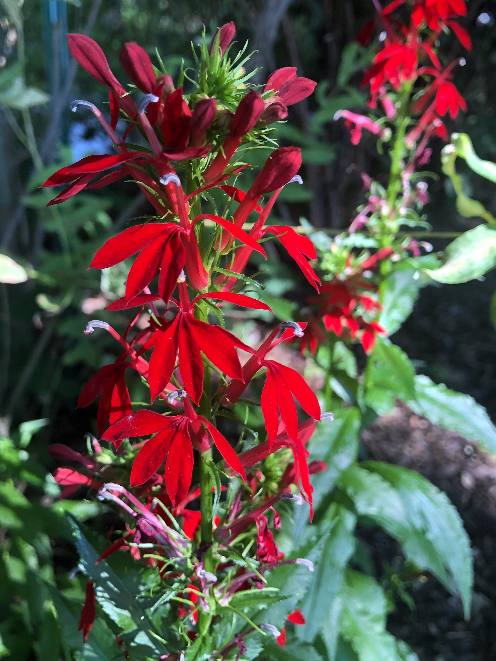 Cardinal Flower in a Nakoma garden in Madison, Wisconsin on July 24, 2020.