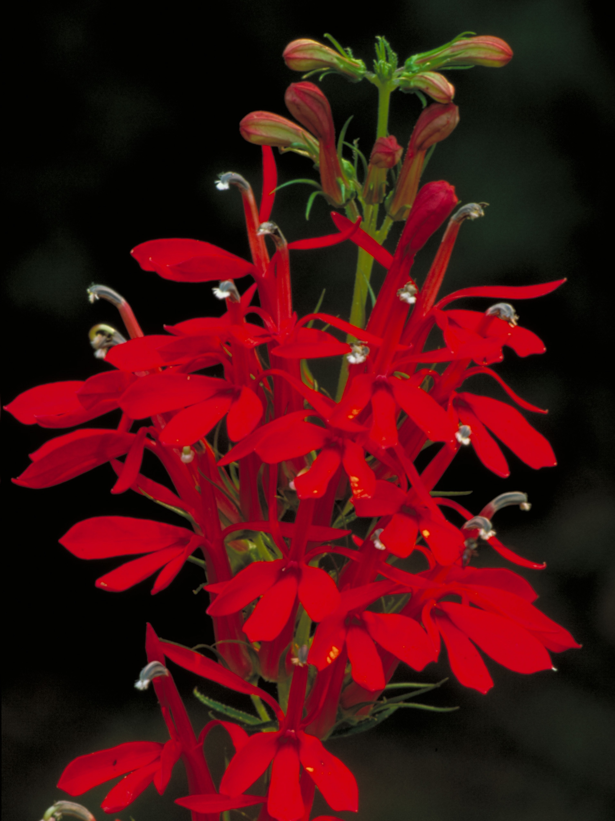 Cardinal flower from U.S. Fish and Wildlife Service.