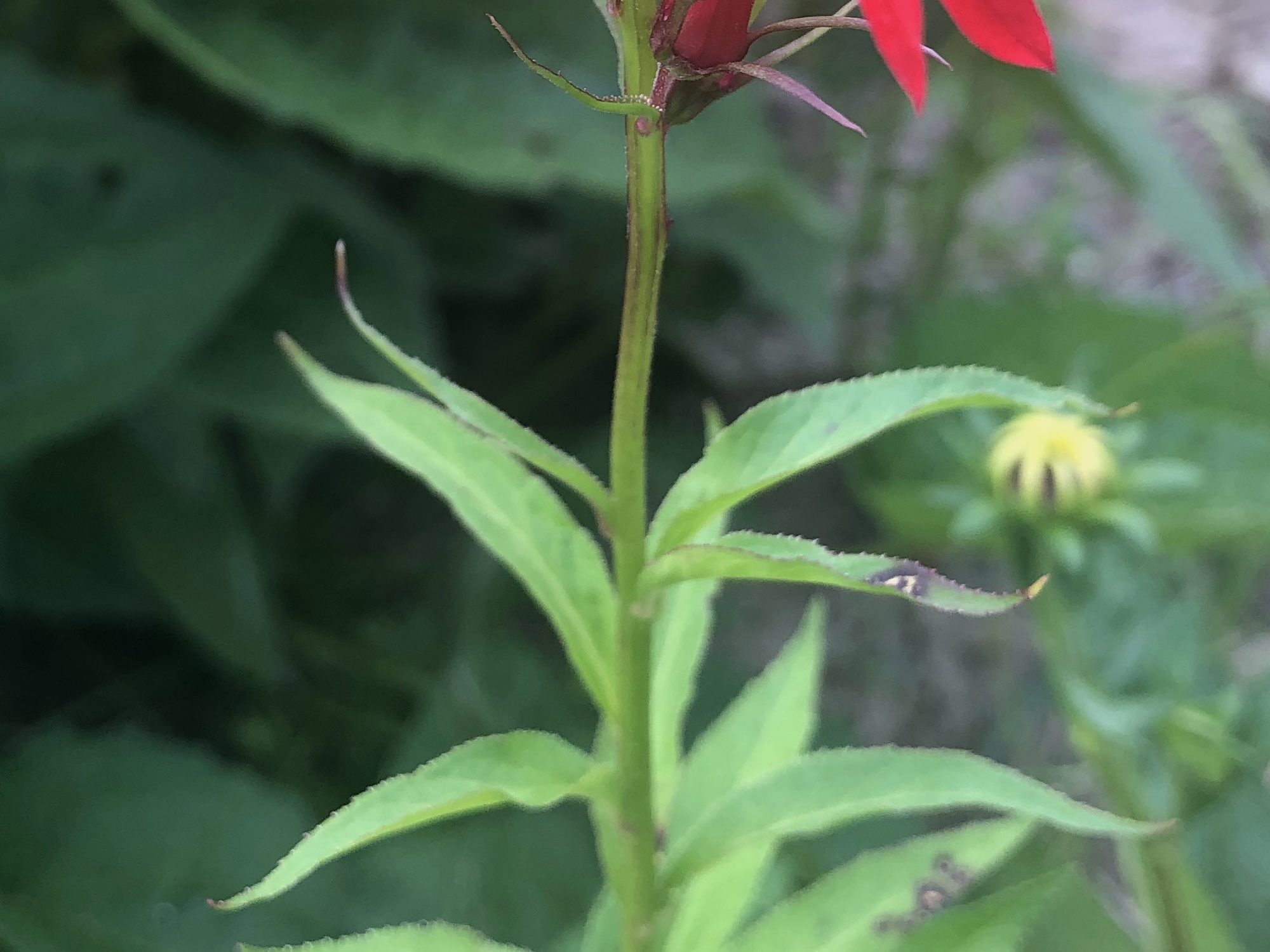 Cardinal Flower leaves and stem.