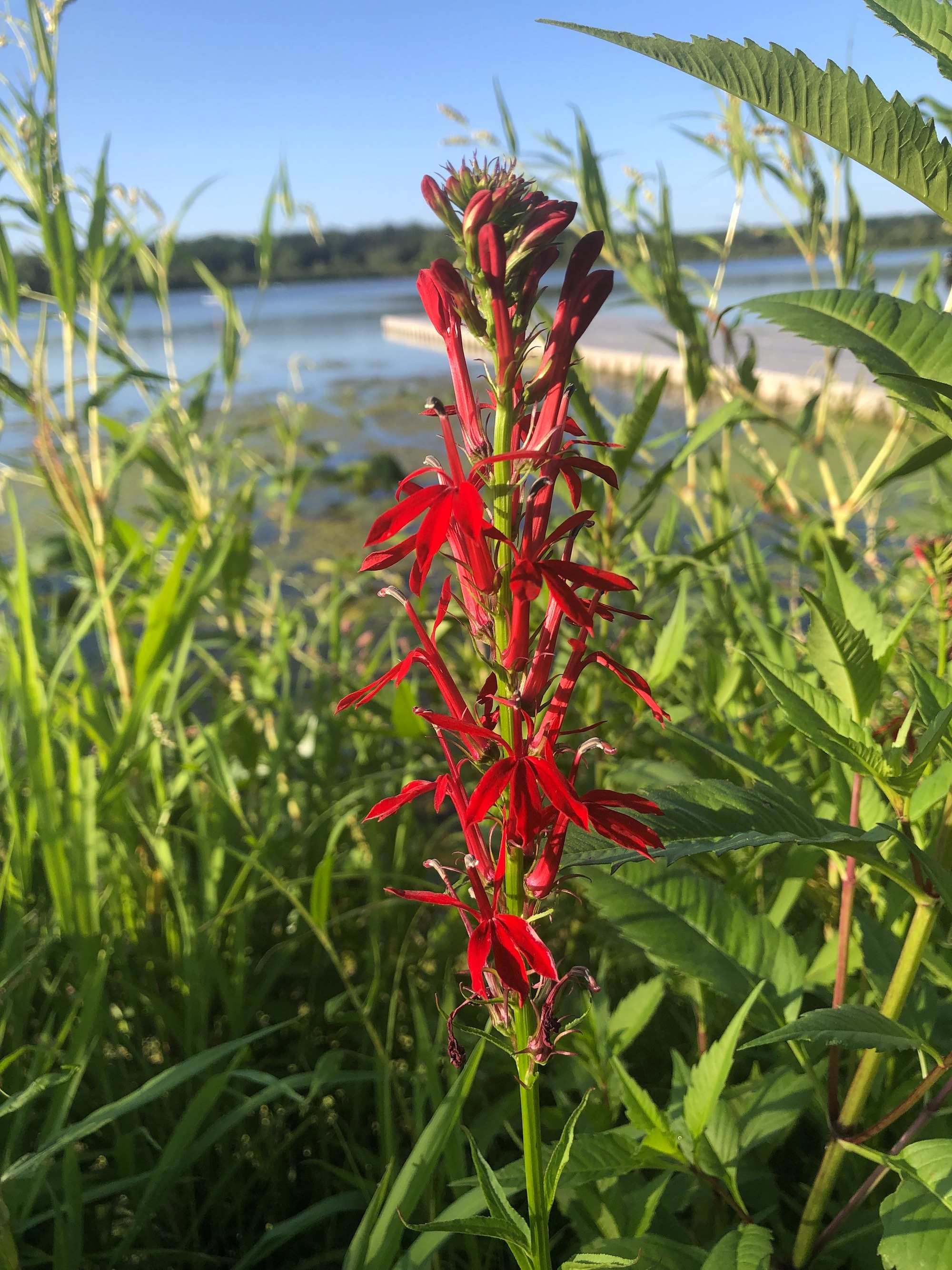 Cardinal Flower on shore of Lake Wingra in Wingra Park in Madison, Wisconsin on July 30, 2020.