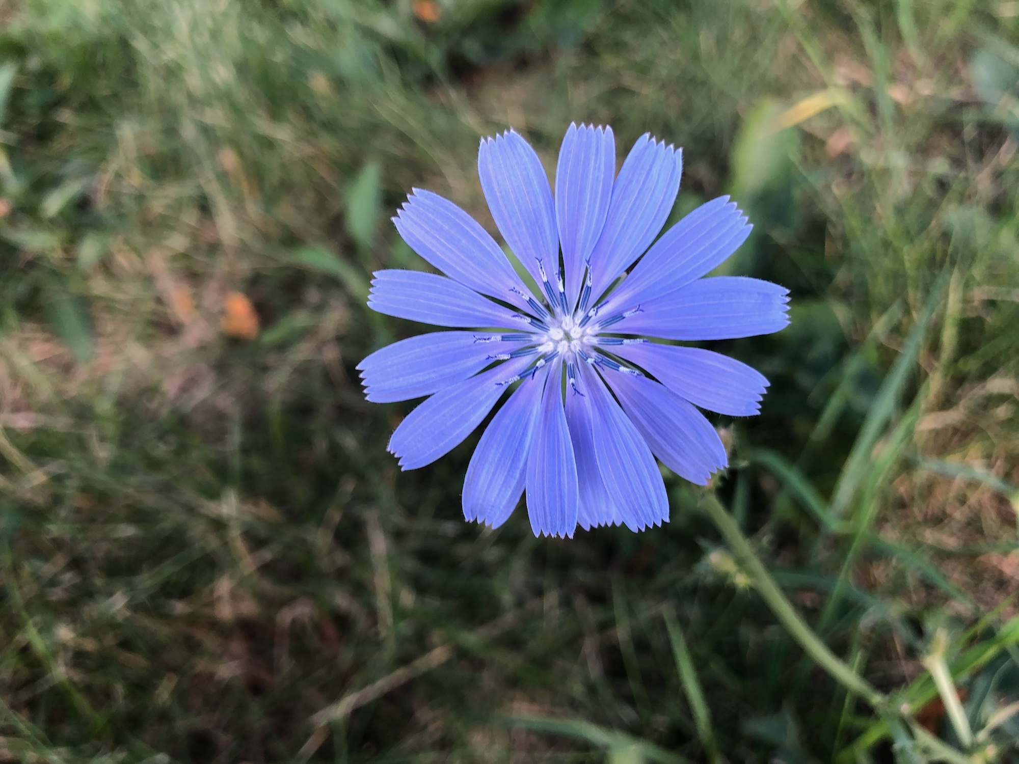Chicory in Marion Dunn Prairie in Madison, Wisconsin on August 3, 2019.
