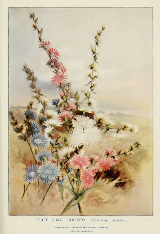 Chicory (Cichorium intybus)illustration by Alice Lounsberry circa 1899.