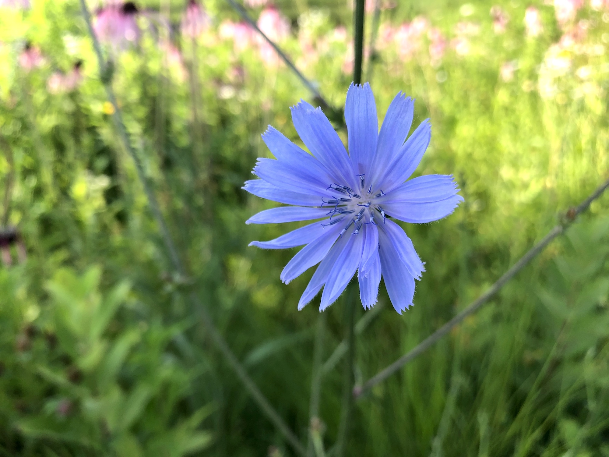 Chicory on banks of Retaining Pond in Madison, Wisconsin on July 5, 2019.