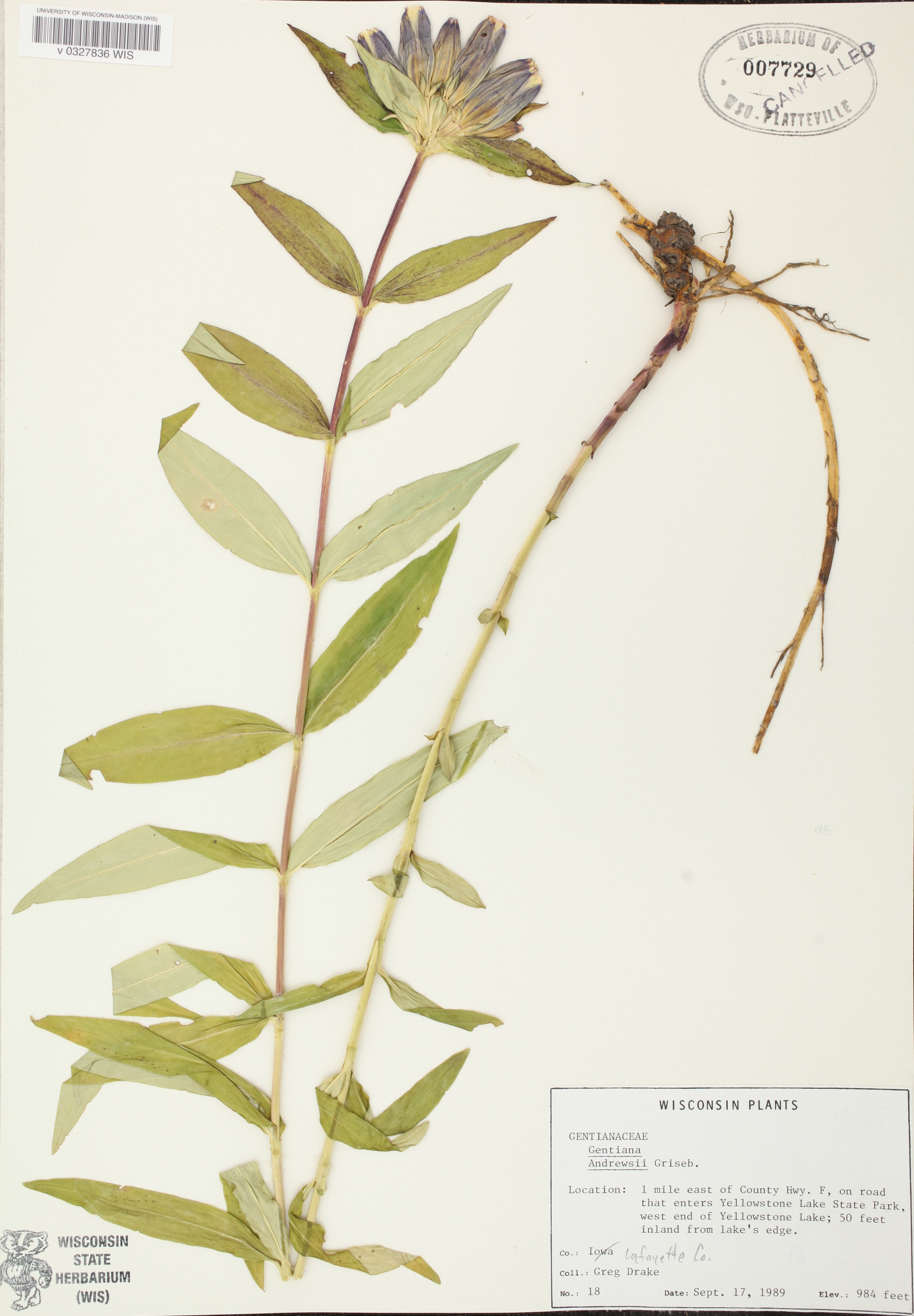 Closed Gentian specimen collected in Yellowstone Lake State Park in Lafayette County on September 17, 1989.