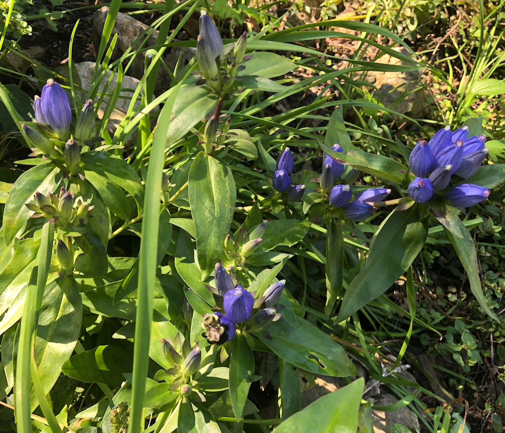 Closed Gentian on bike path near Edgewood Avenue in Madison, Wisconsin on Septemeber 12, 2018.