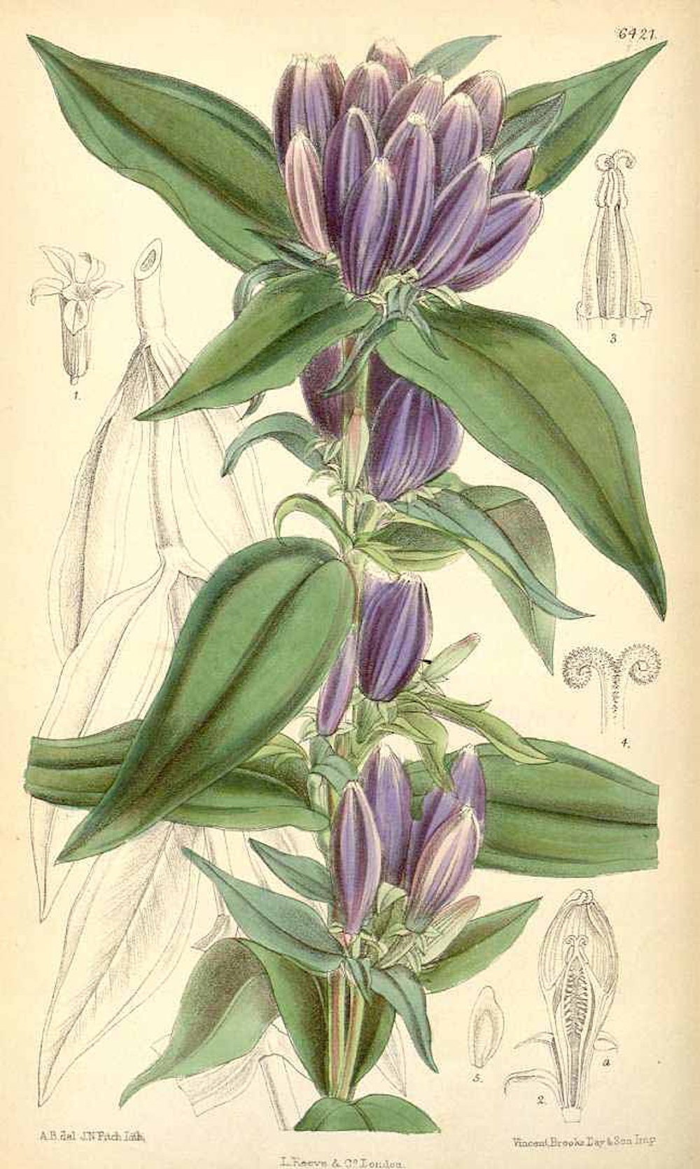 Closed Gentian botanical illustration circa 1879.
