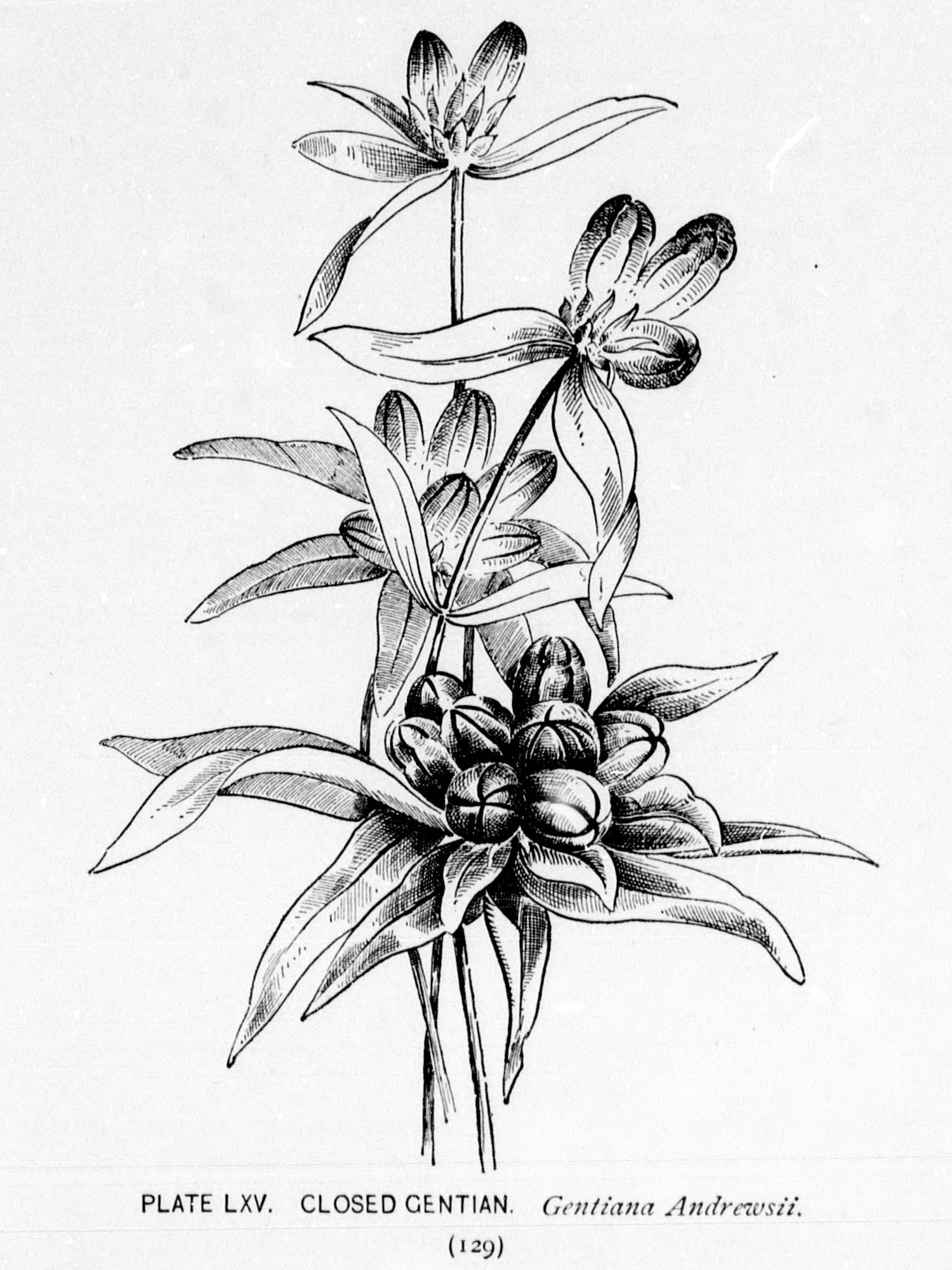 Closed Gentian botanical illustration by Alice Lounsberry circa 1899.