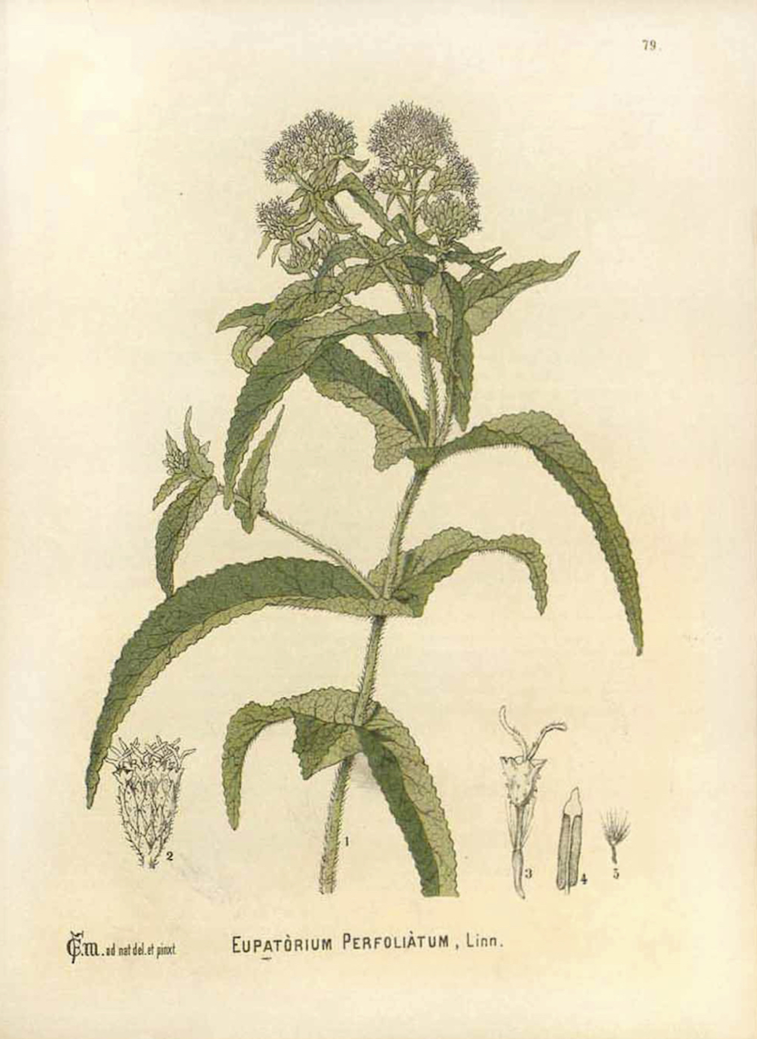 Common Boneset illustration by C.F. Millspaugh circa 1892.