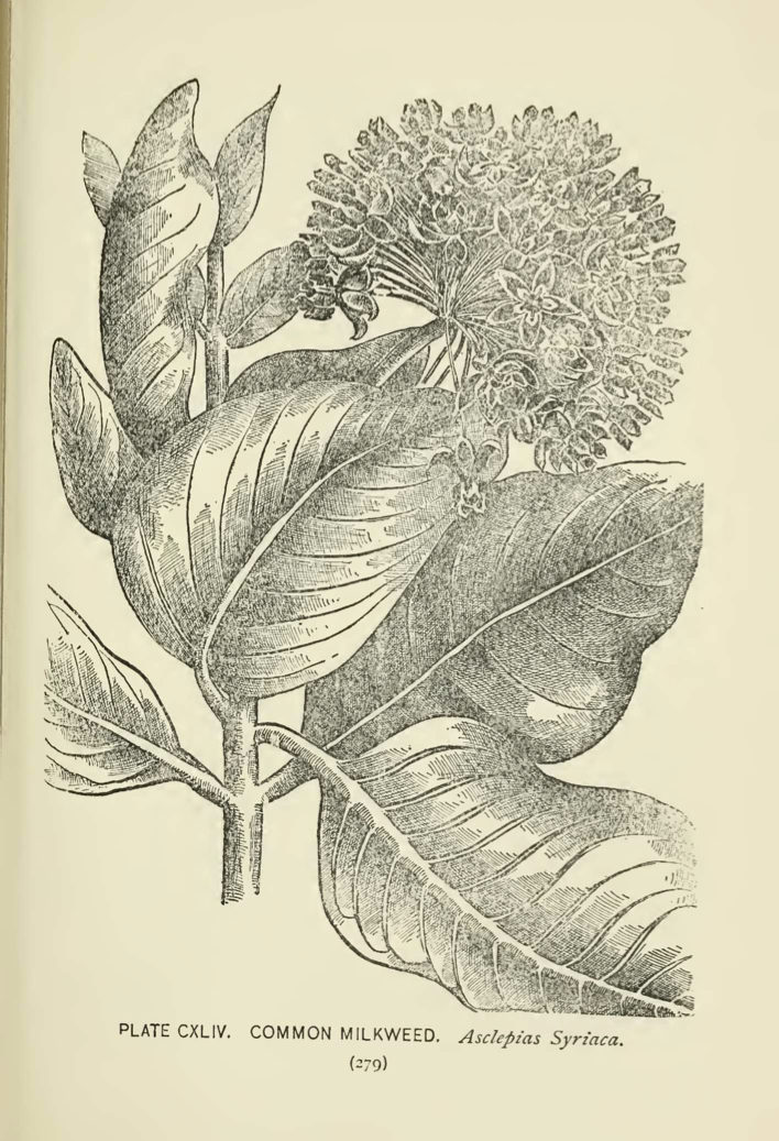 Common Milkweed (Asclepias syriaca) illustration by Alice Lounsberry circa 1899.