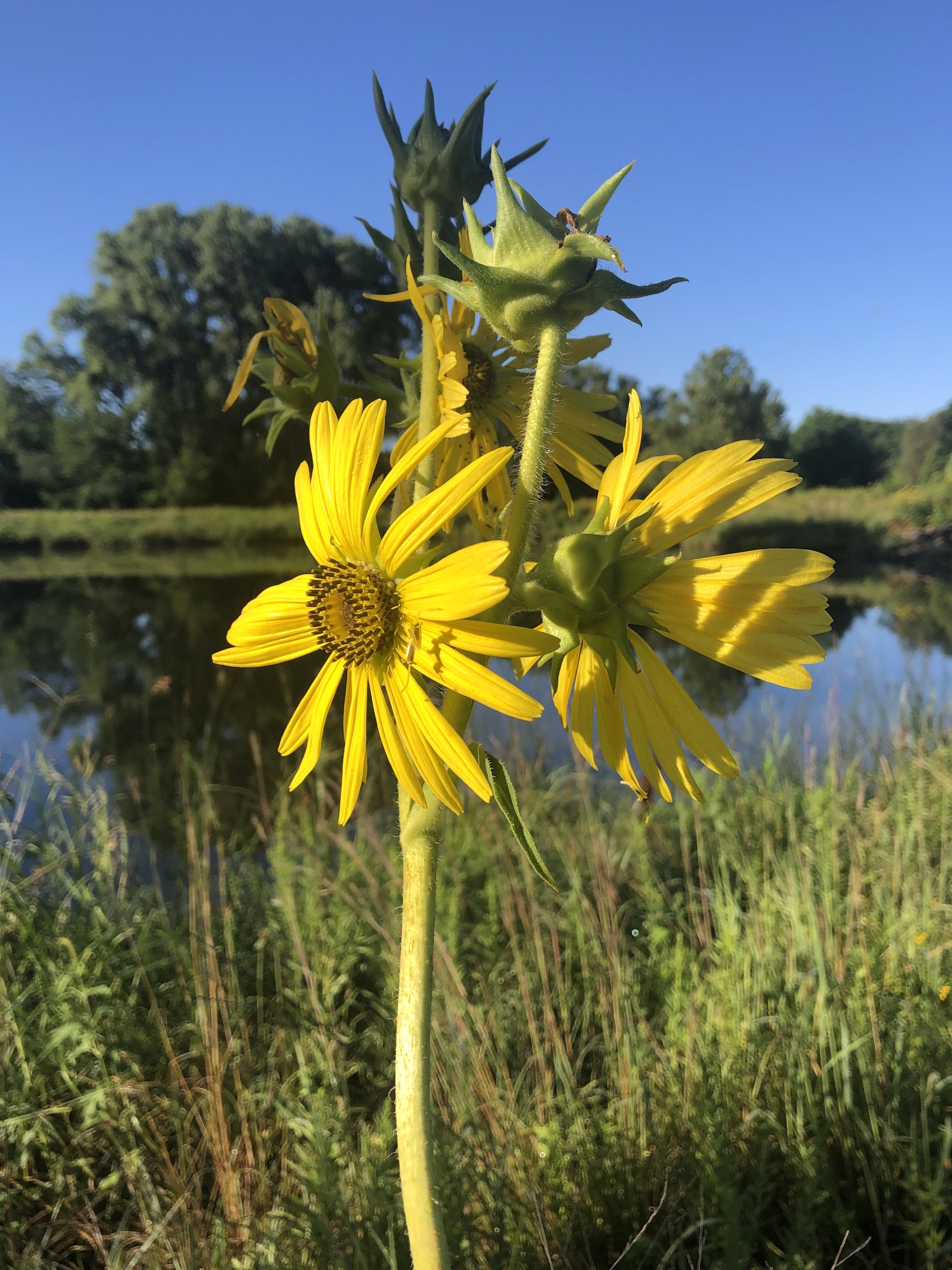 Compass Plant on the shore of the retaining pond on the corner of Nakoma Road and Manitou Way in Madison, Wisconsin on August 11, 2020.