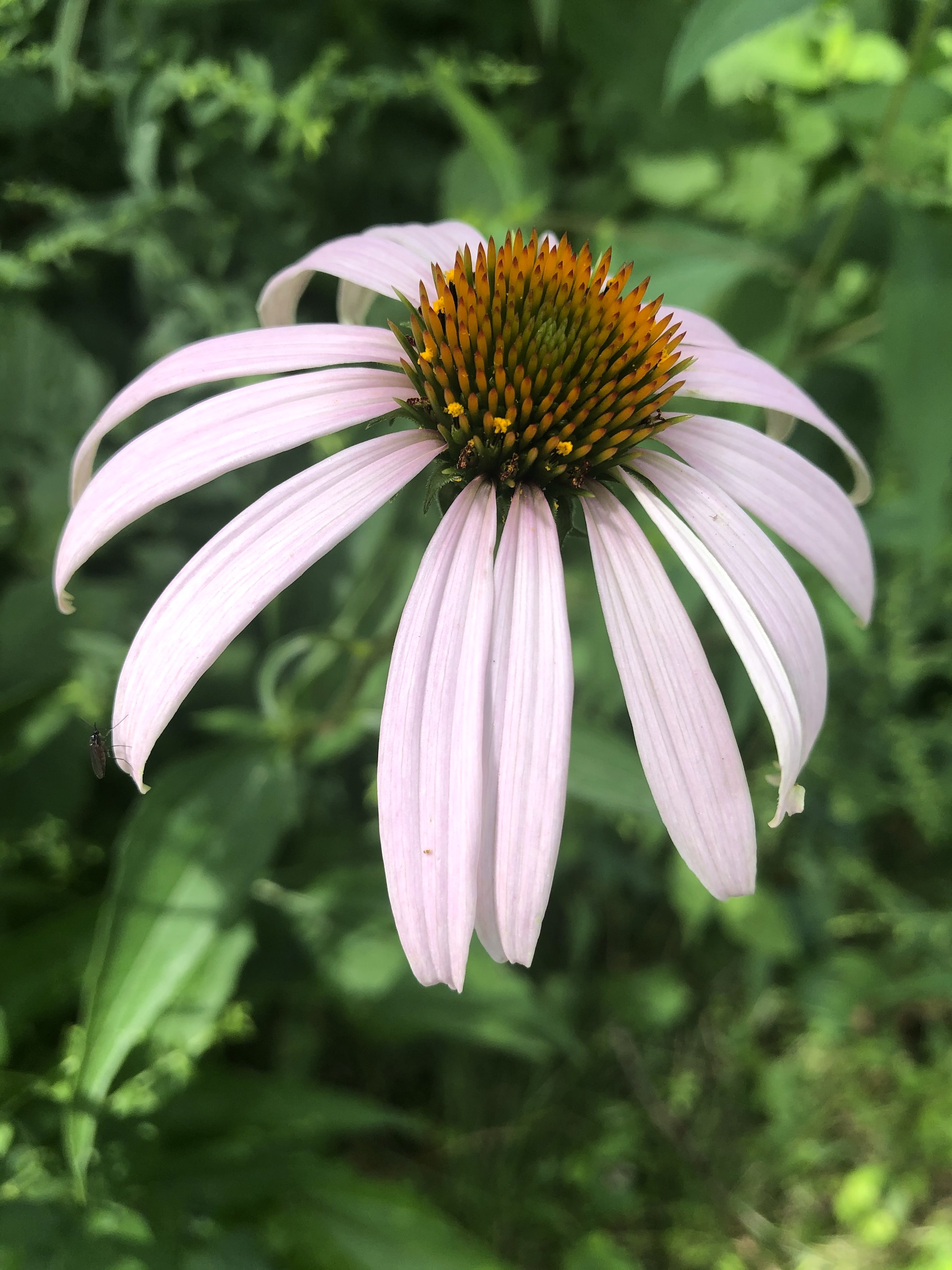 Purple coneflower in the woods in Nakoma Park in Madison, Wisconsin on July 23, 2020.