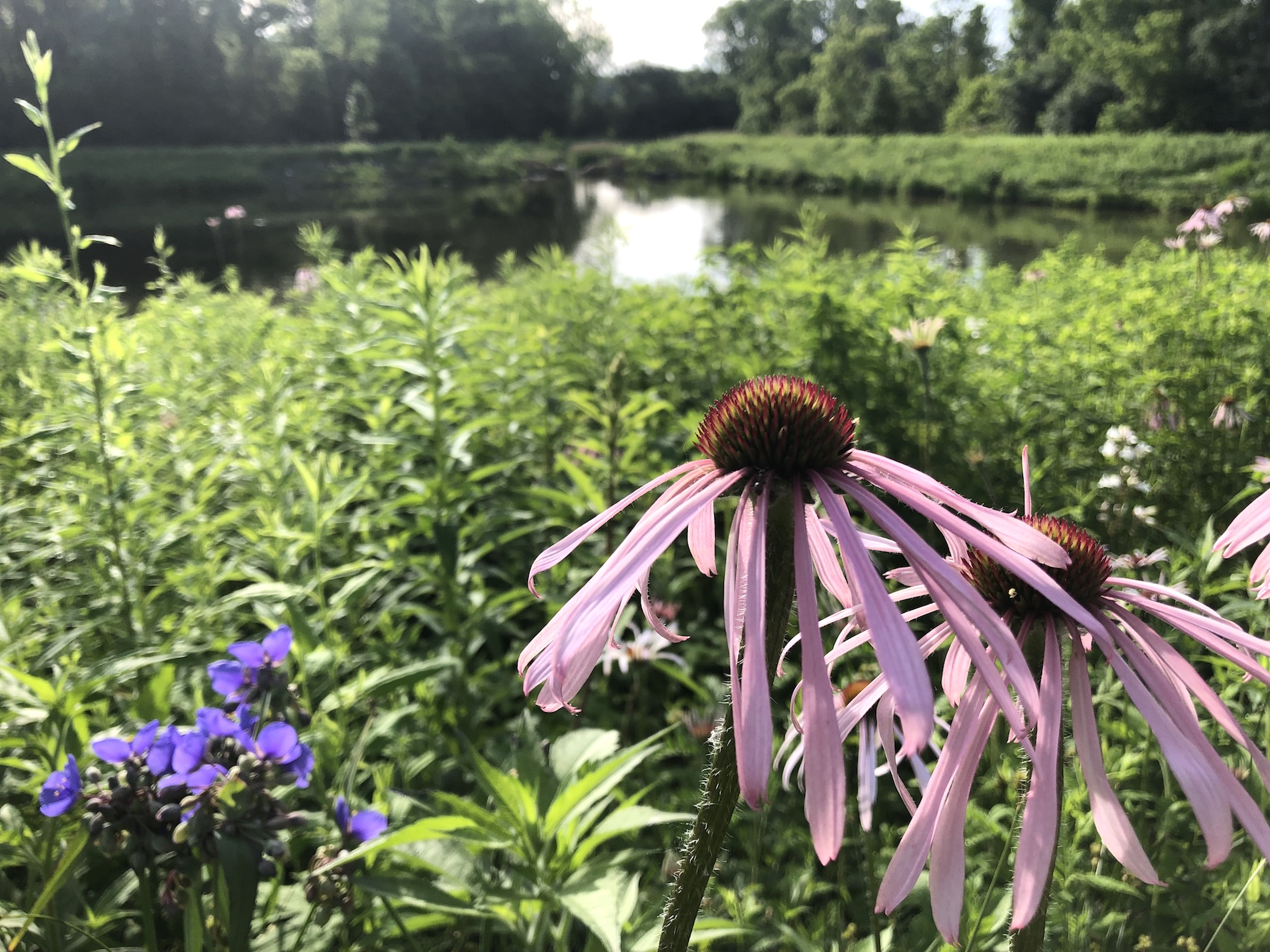 Pale purple coneflower on bank of Retaining Pond on corner of Nakoma Road and Manitou Way on June 26, 2019.