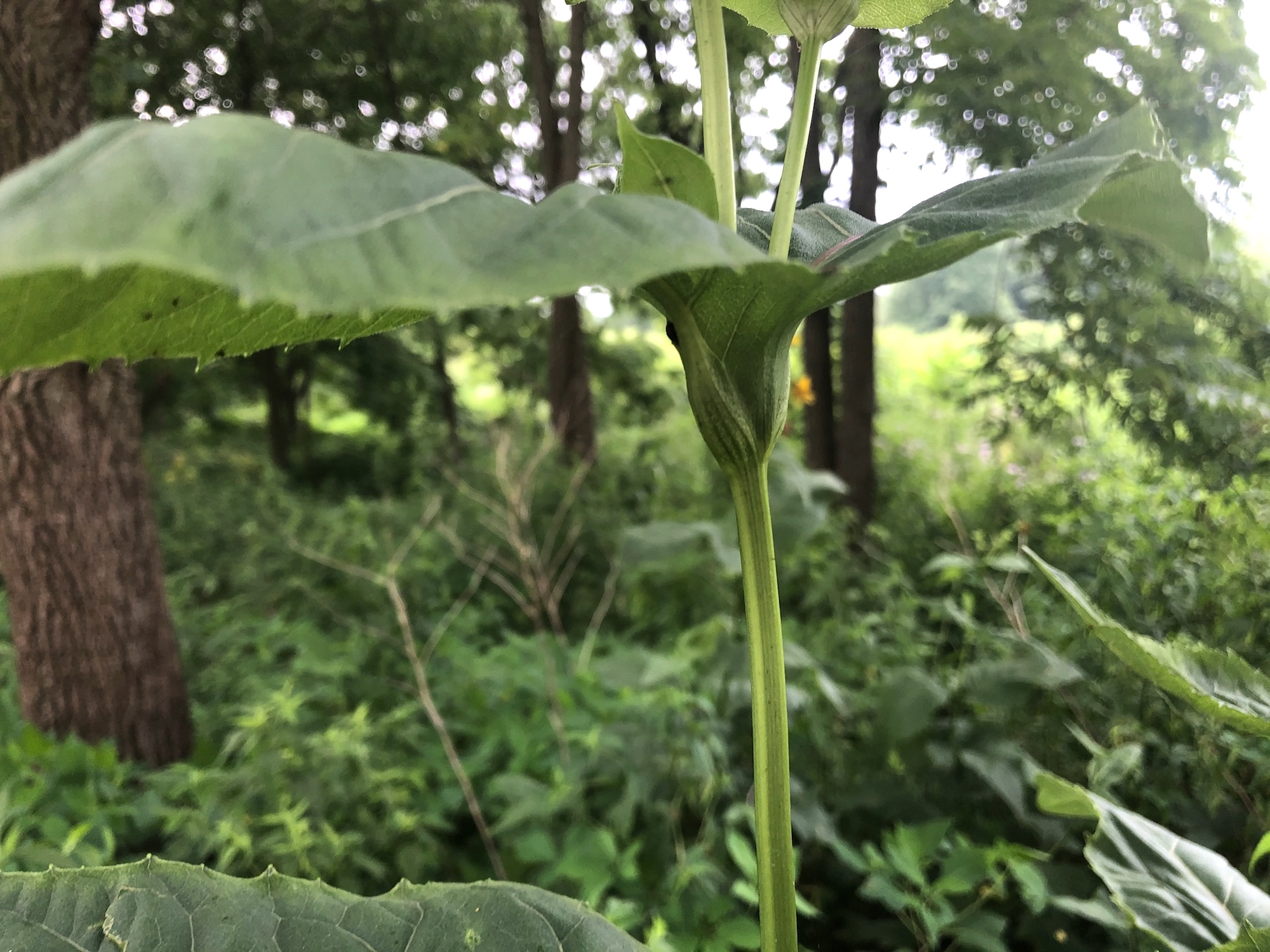 Cup Plant at edge of woods between Marion Dunn and Oak Savanna in Madison, Wisconsin on July 18, 2020.