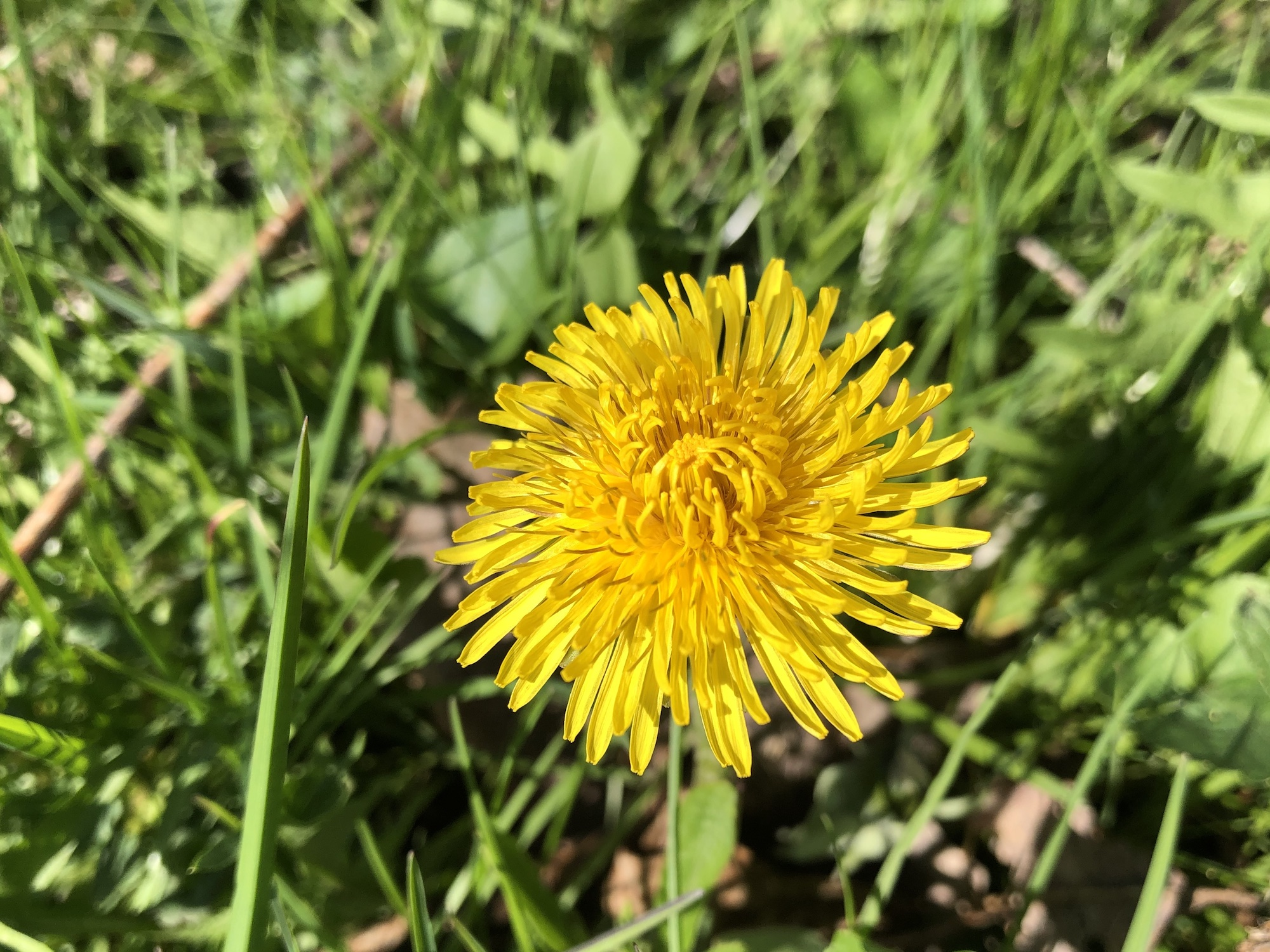 Dandelion by Stevens Pond in Madison, Wisconsin on April 30, 2020.