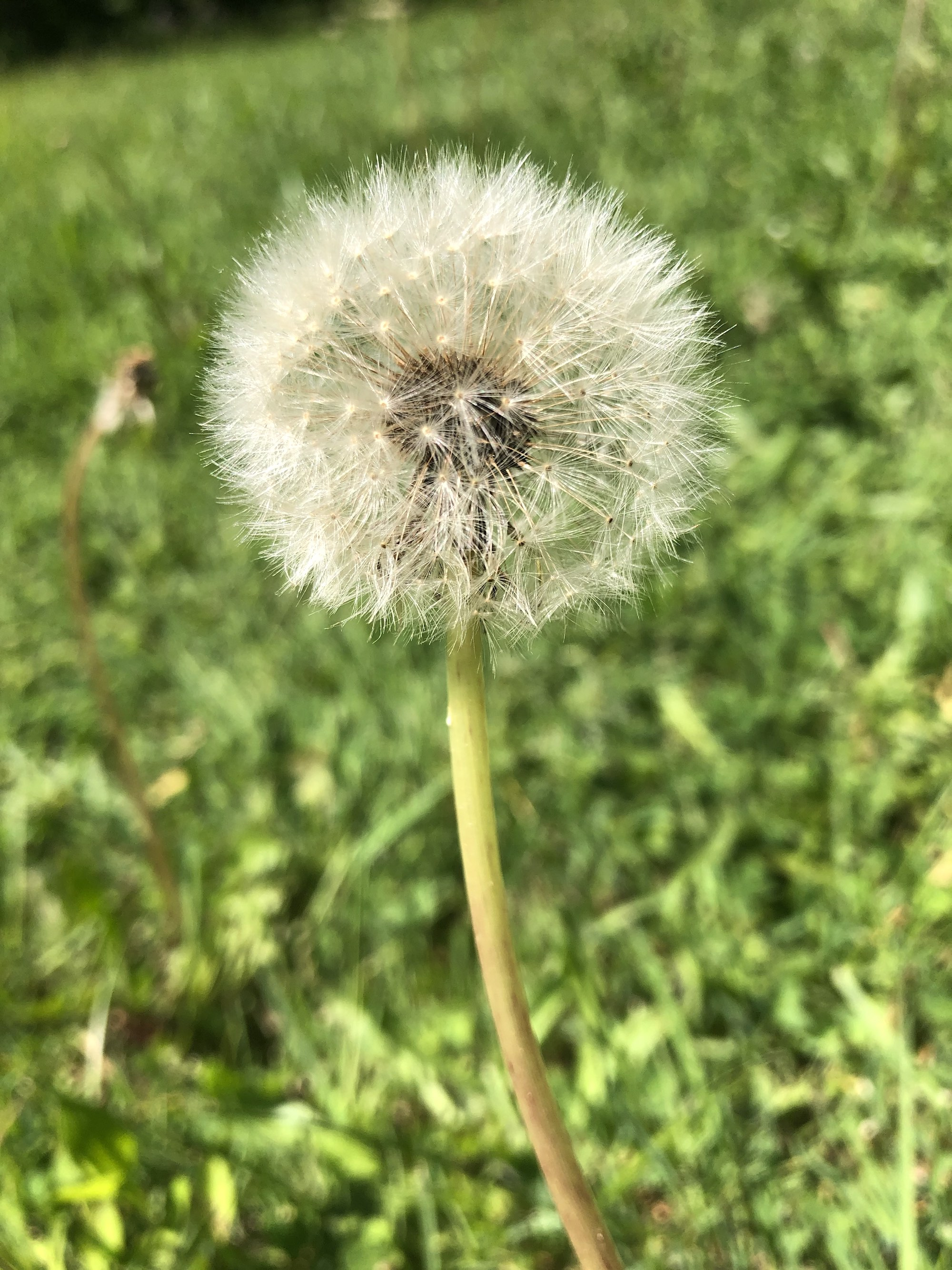Dandelion puffball in Nakoma Park in Madison Wisconsin on May 31, 2020.