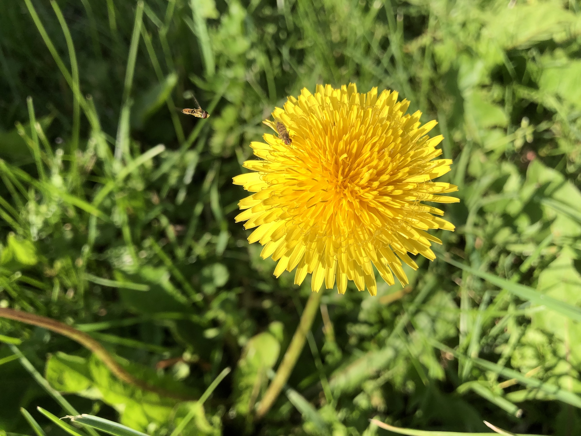 Dandelion by Stevens Pond in Madison, Wisconsin on June 11, 2019.