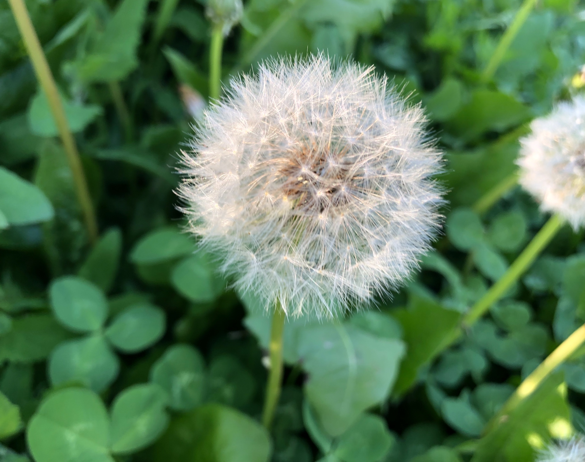 Dandelion puffball in Nakoma Park in Madison, Wisconsin on May 26, 2020.