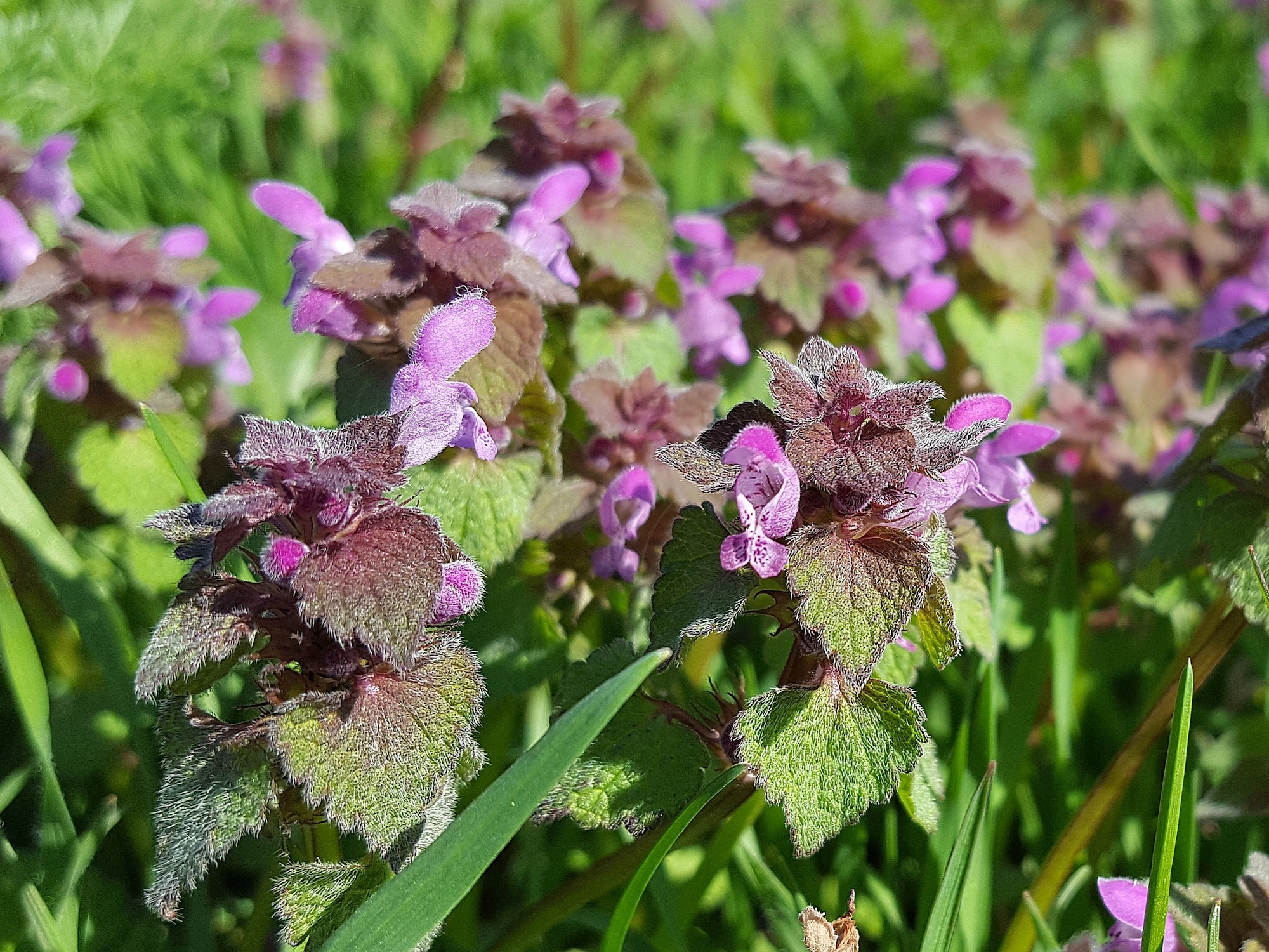 Purple Dead-Nettles.