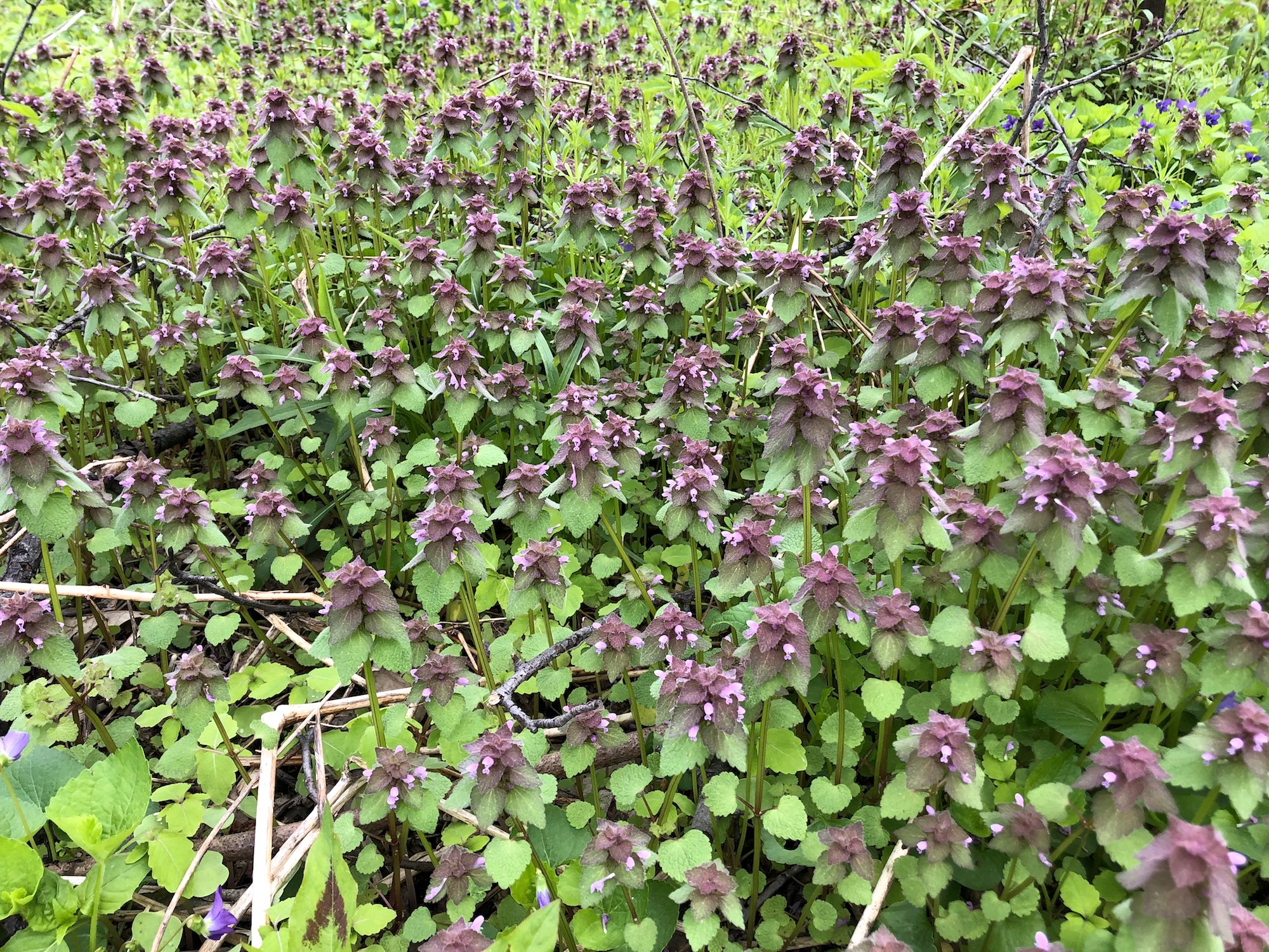 Purple Dead-Nettles in Oak Savanna in the U.W. Arboretum in Madison, Wisconsin on May 11, 2019.