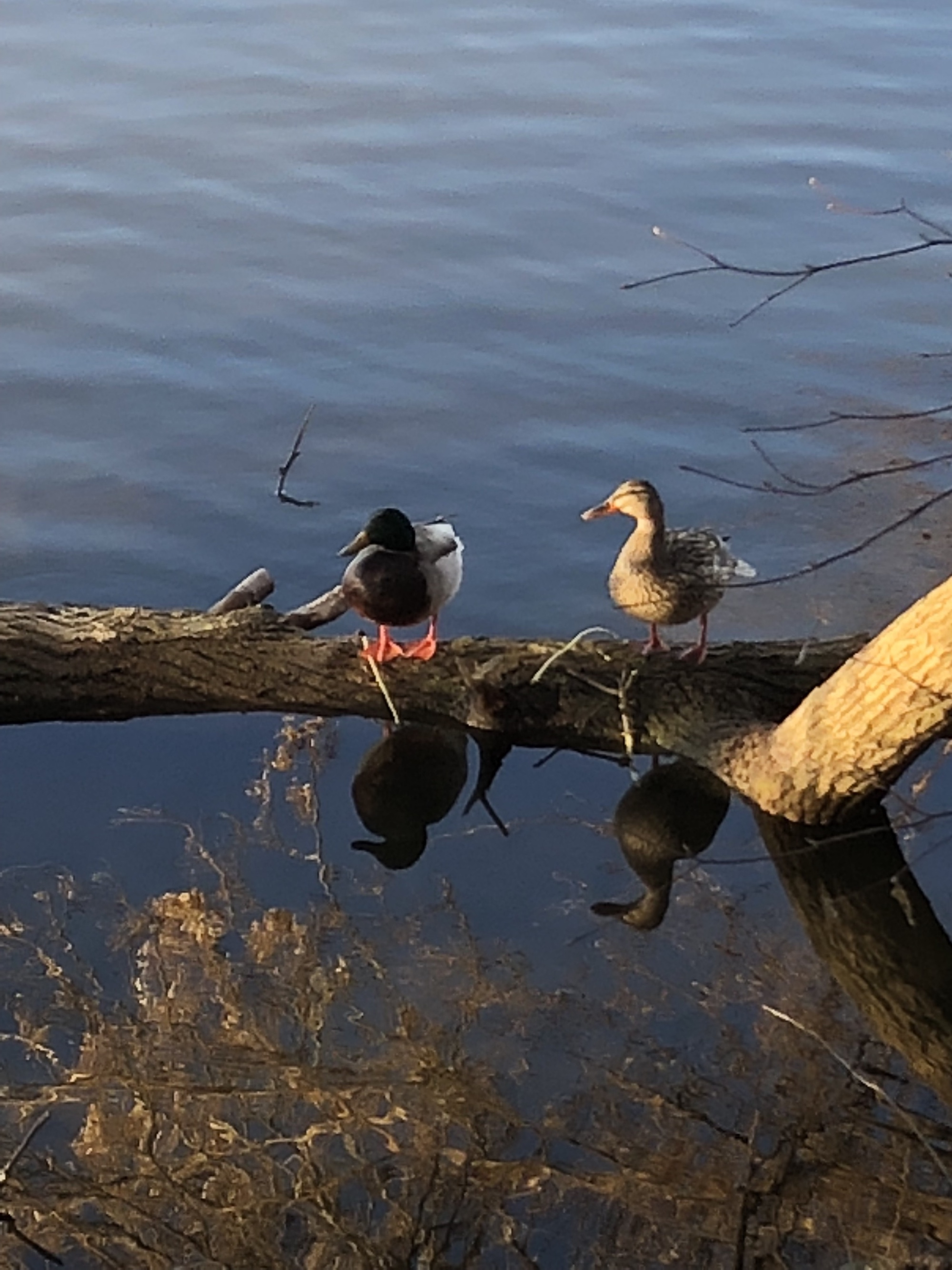Ducks on a log in Lake Wingra on April 25, 2018.