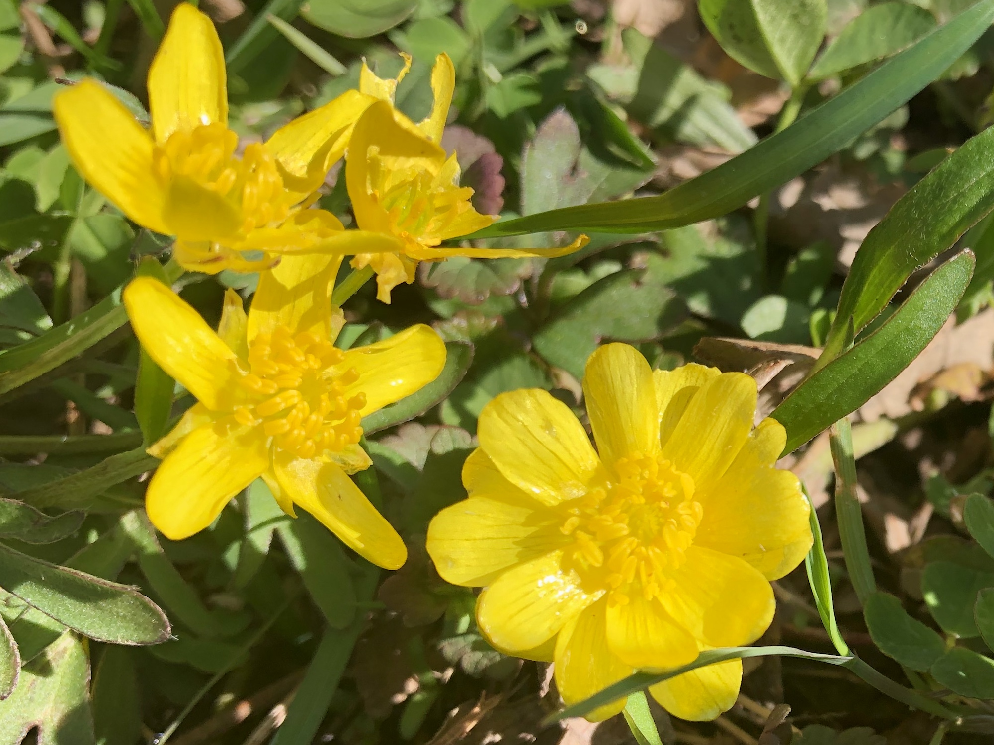 Early Buttercup in Nakoma Park in Madison, Wisconsin on April 30, 2020.