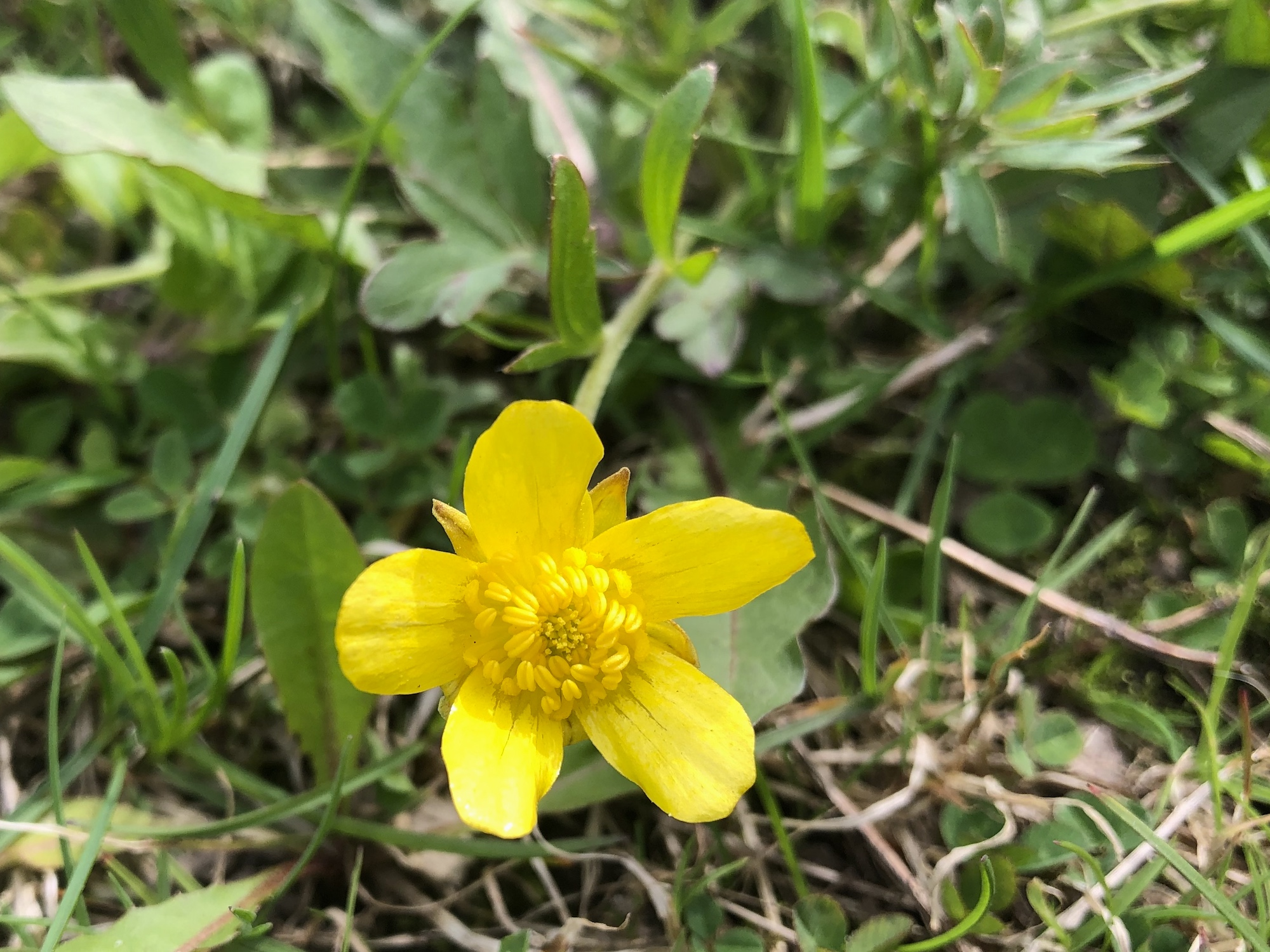 Early Buttercup in Nakoma Park in Madison, Wisconsin on May 4, 2020.