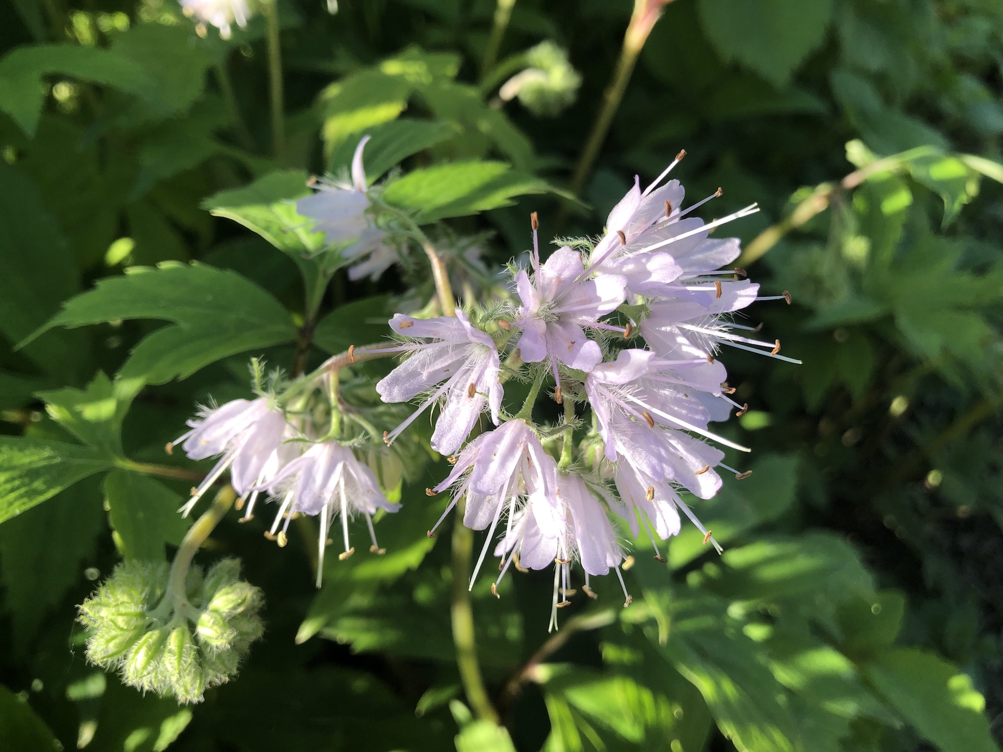 Virginia Waterleaf in Madison, Wisconsin on May 25, 2019.
