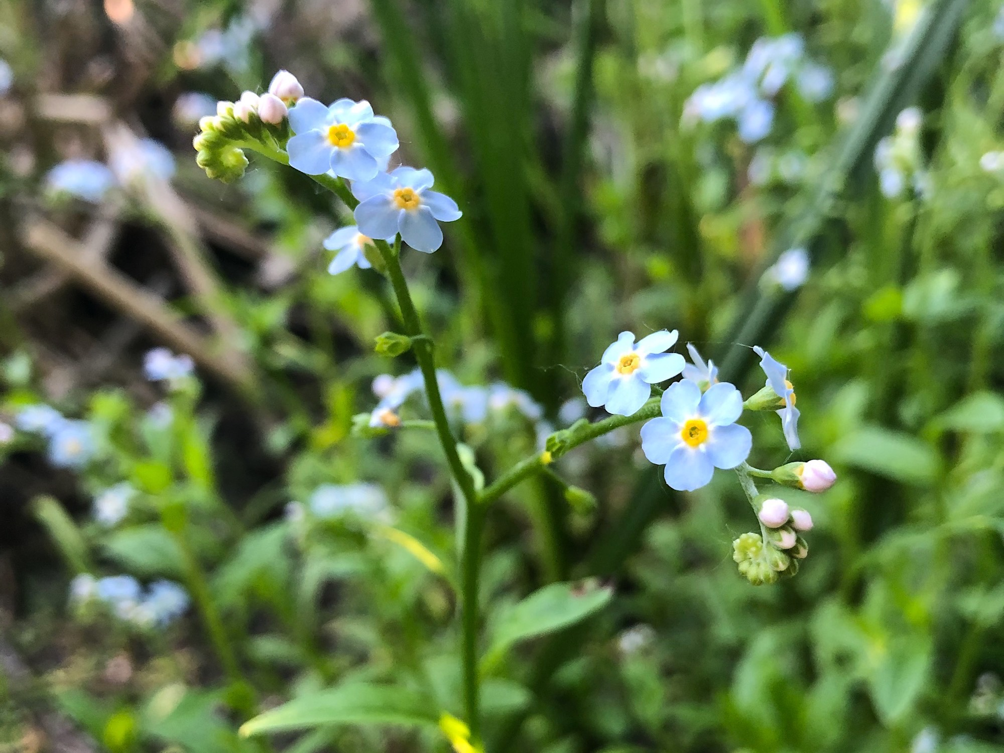 True Forget-me-not or Water Forget-me-not.