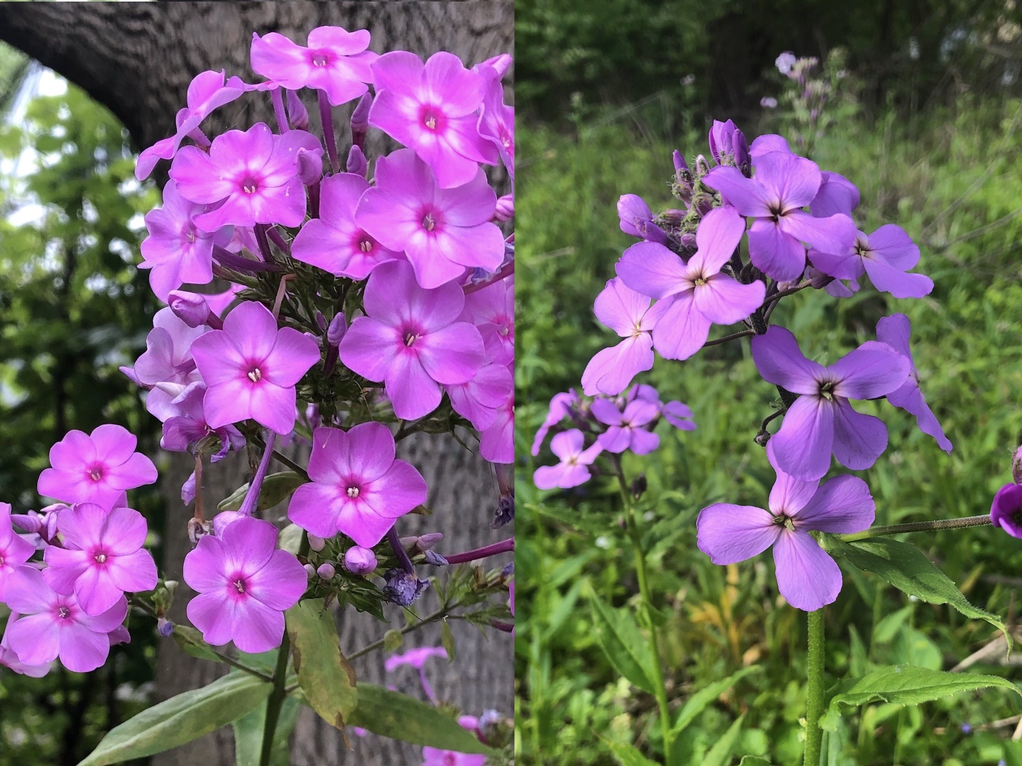 Difference between Tall Garden Phlox and Dames Rocket.