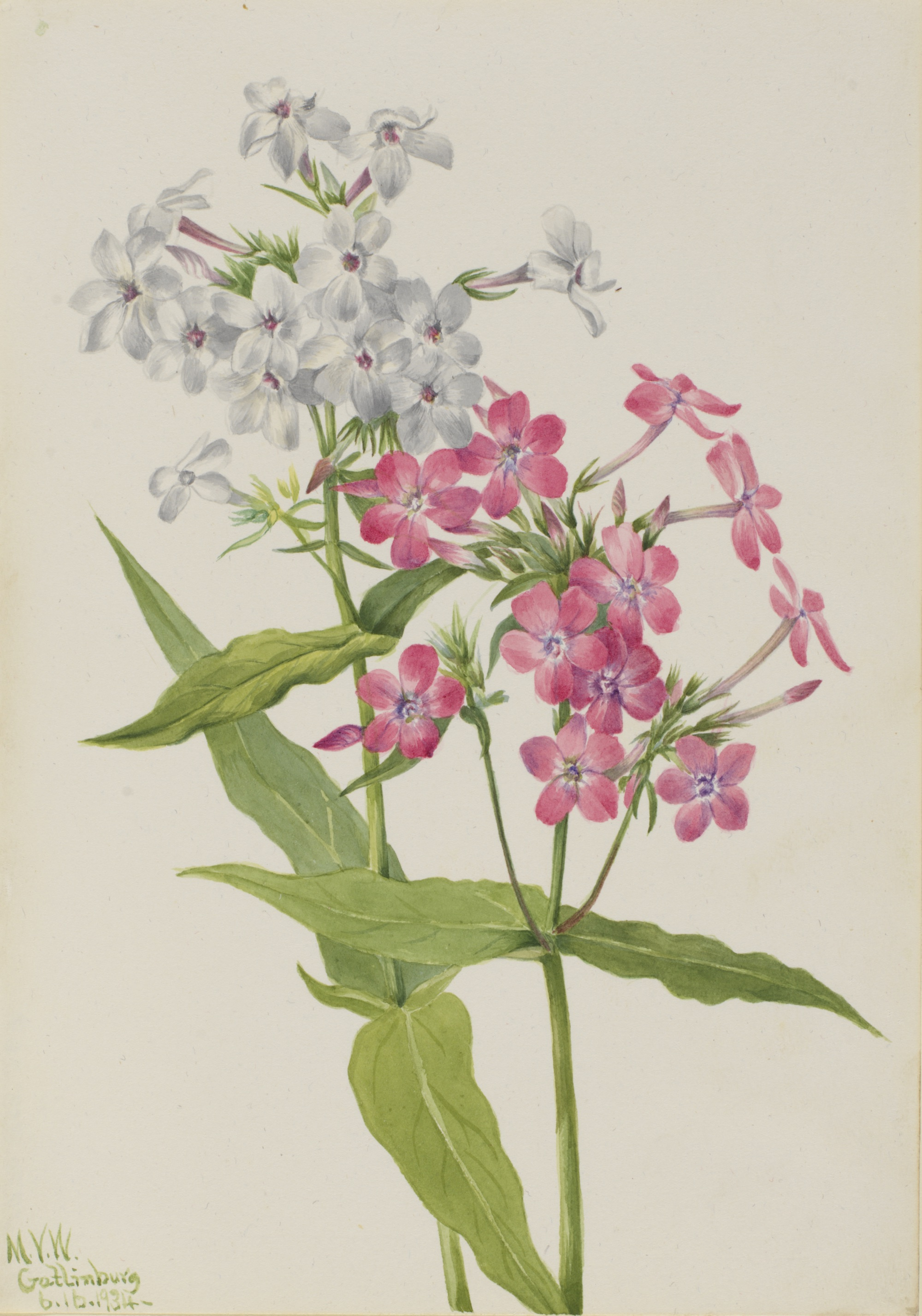 1934 Phlox paniculata illustration by Mary Vaux Walcott.