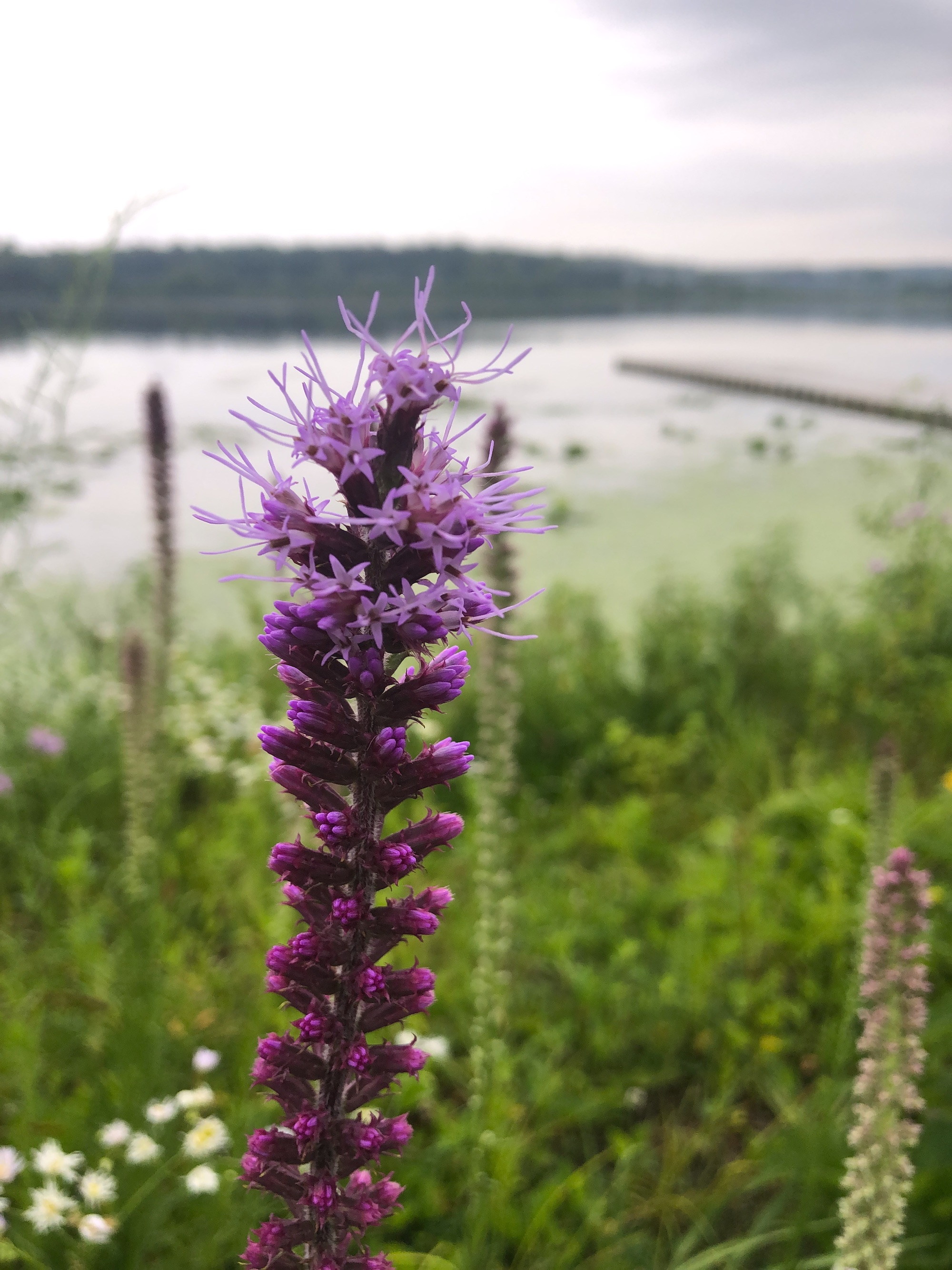 Dense Blazing Star on the shore of Lake Wingra in Wingra Park on July 15, 2020.