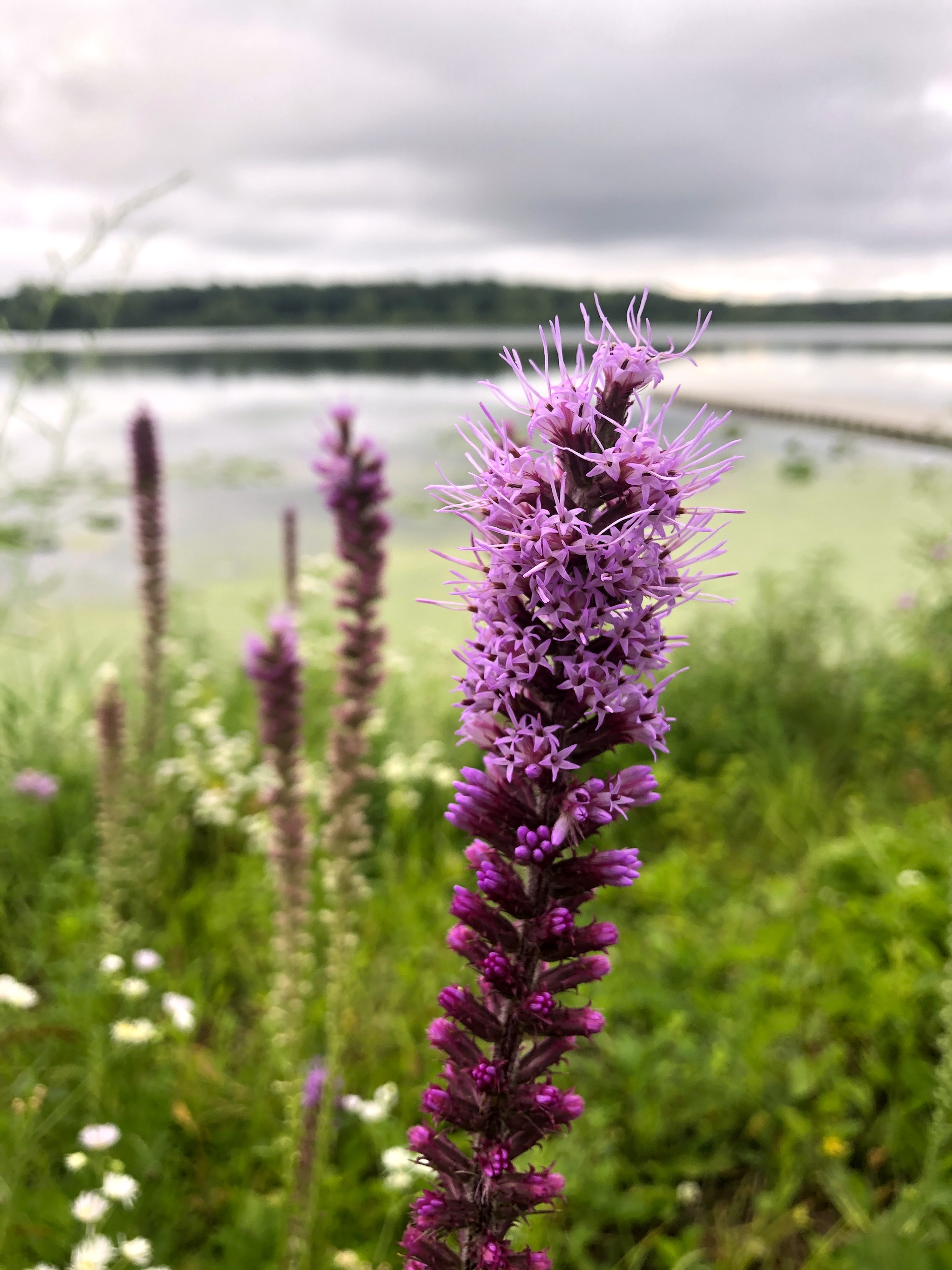 Dense Blazing Star on the shore of Lake Wingra in Wingra Park on July 16, 2020.