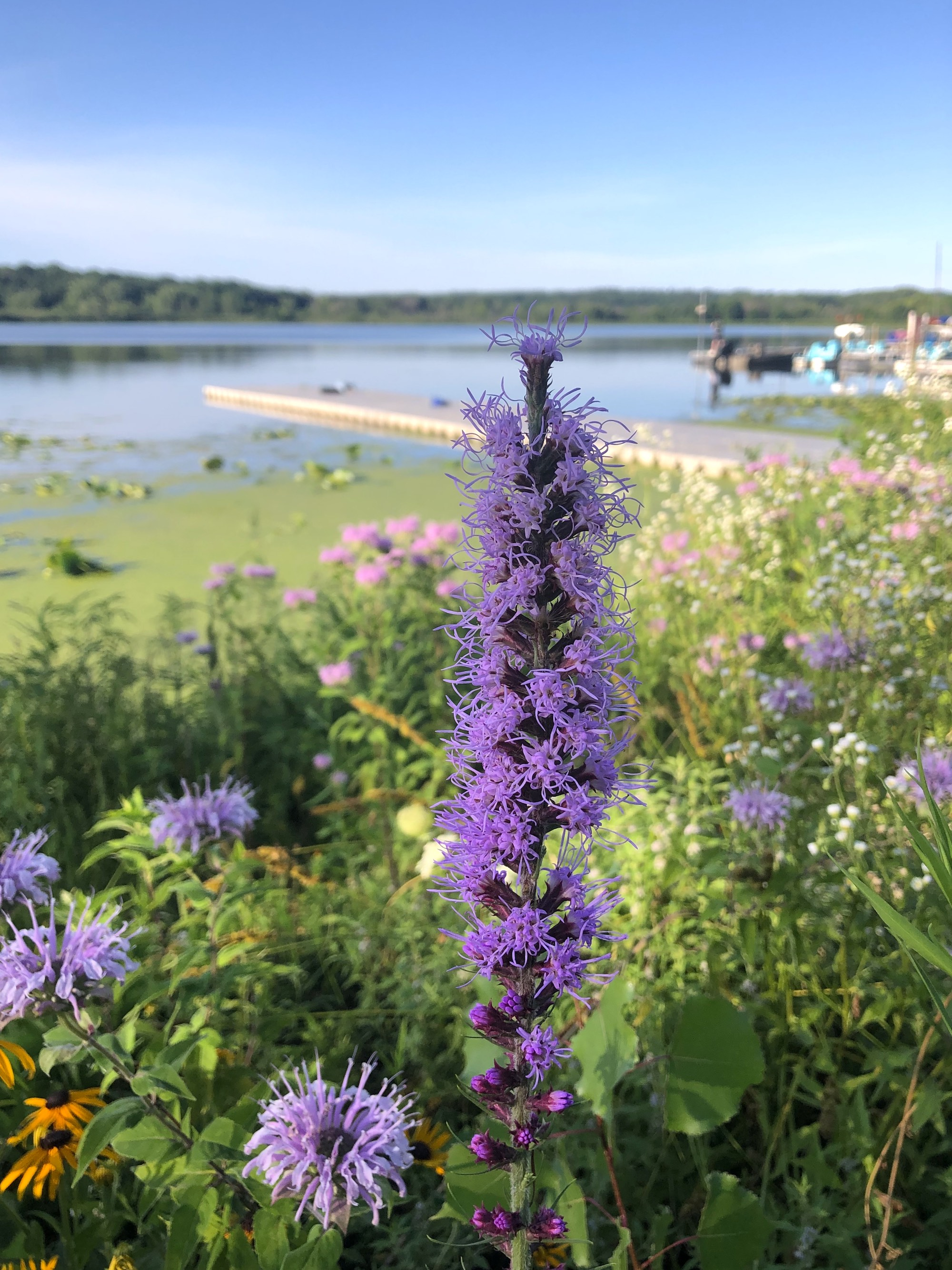 Dense Blazing Star on the shore of Lake Wingra in Wingra Park on July 20, 2020.