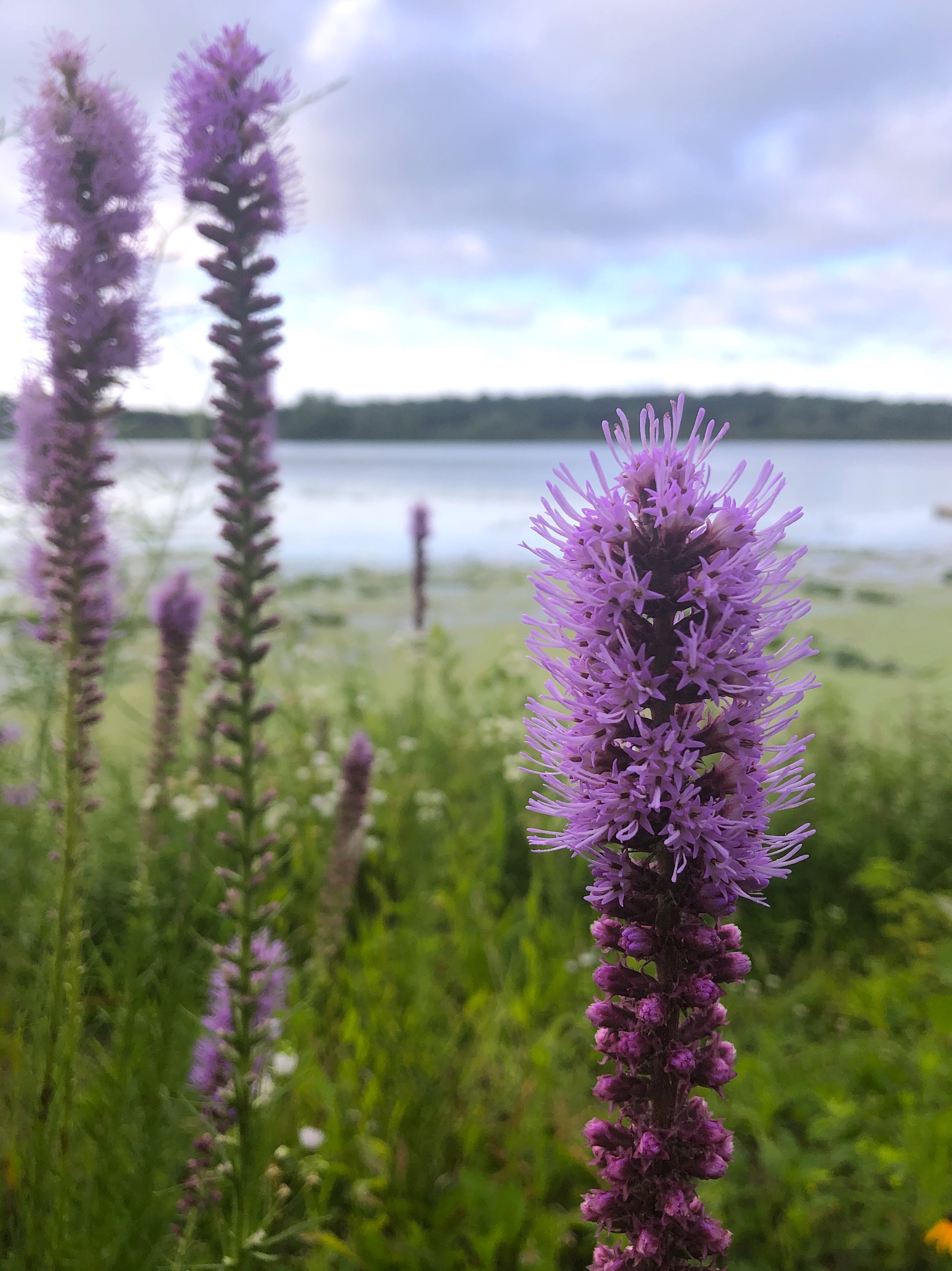 Dense Blazing Star on the shore of Lake Wingra in Wingra Park on July 22, 2020.