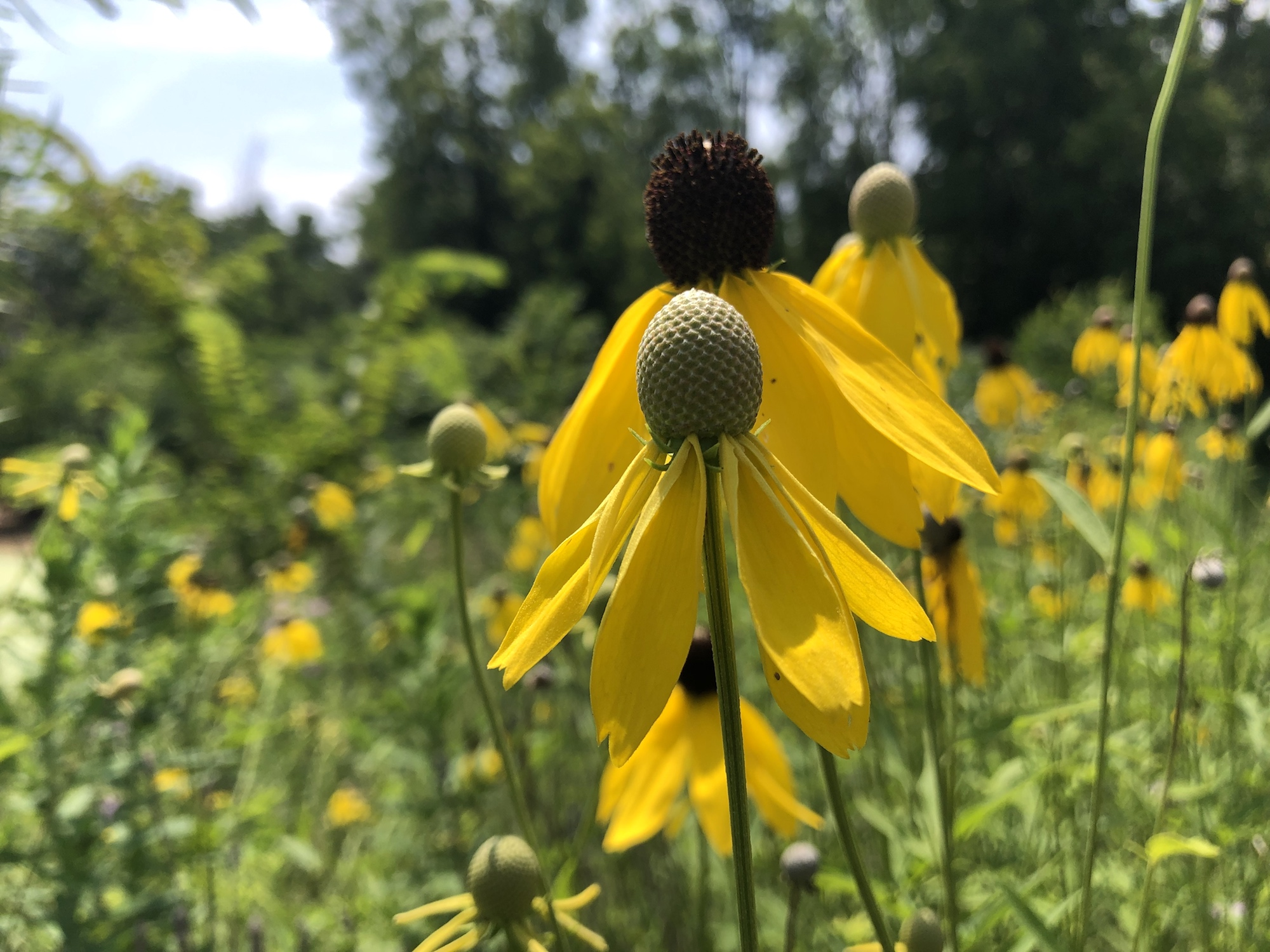 Gray-headed coneflower on shore of Marion Dunn Pond  in Madison, Wisconsin on July 25, 2019.