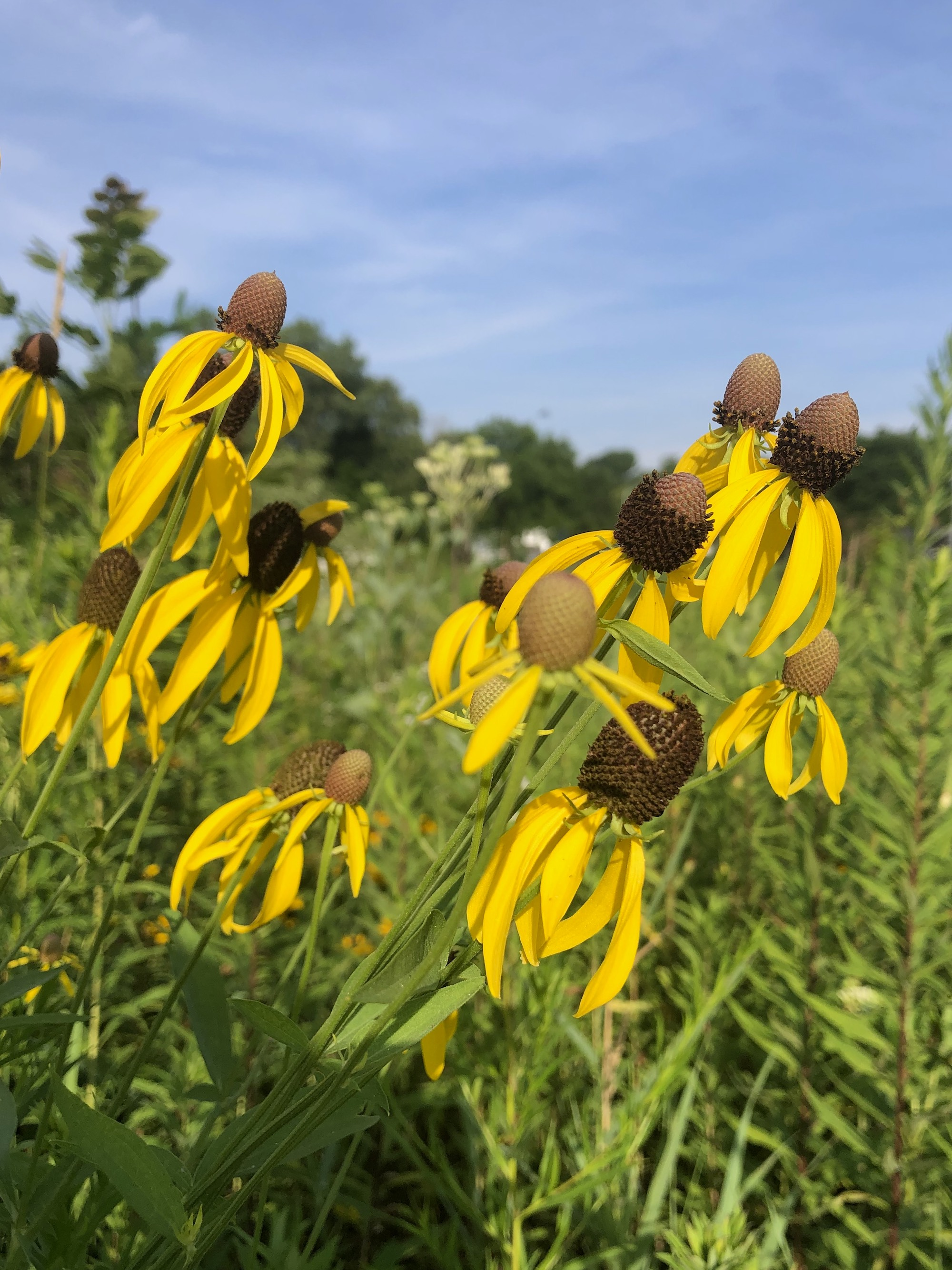 ray-headed coneflower on shore of Marion Dunn Pond in Madison, Wisconsin on July 26, 2020.