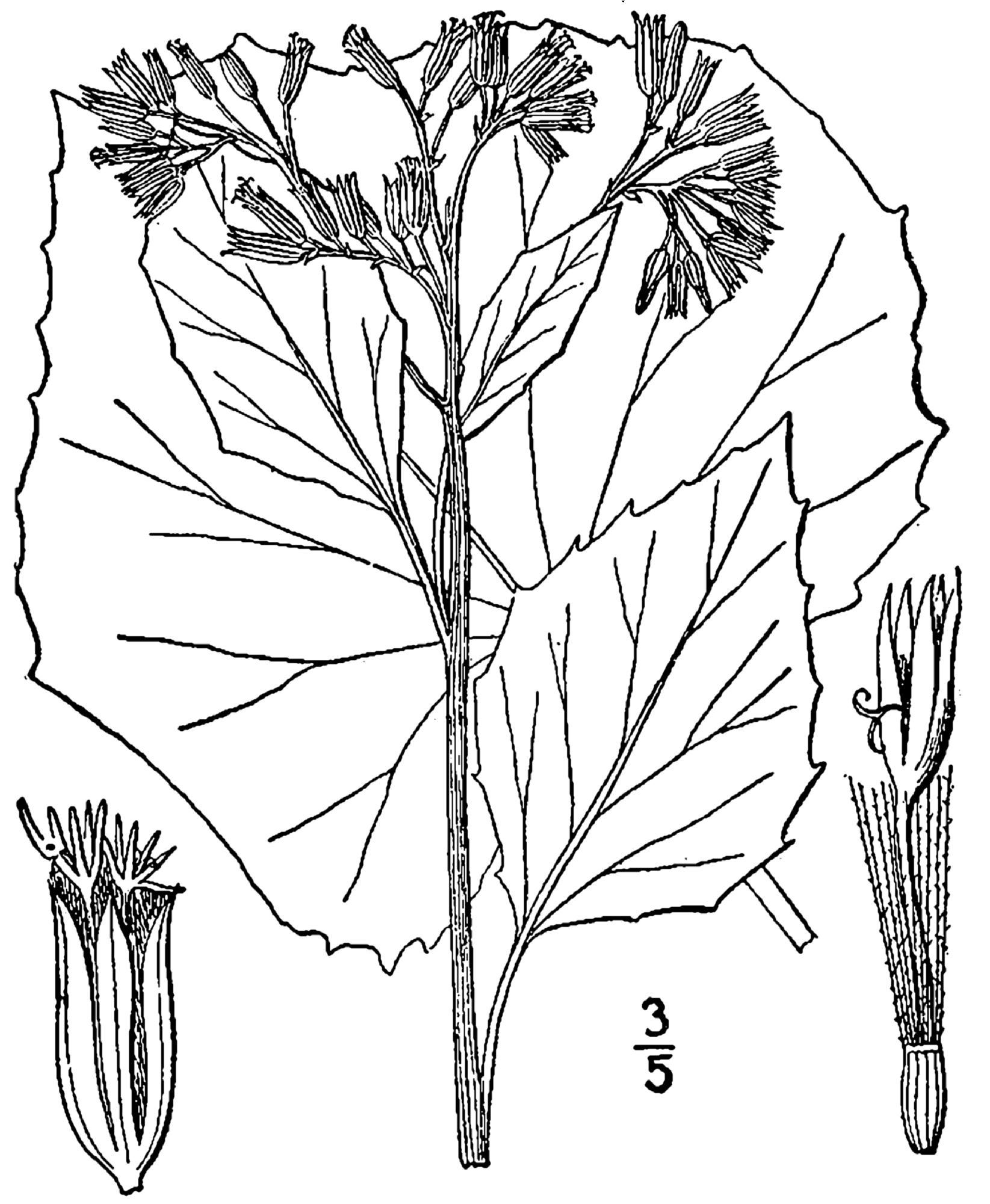 1913 Pale Indian Plantain illustration.