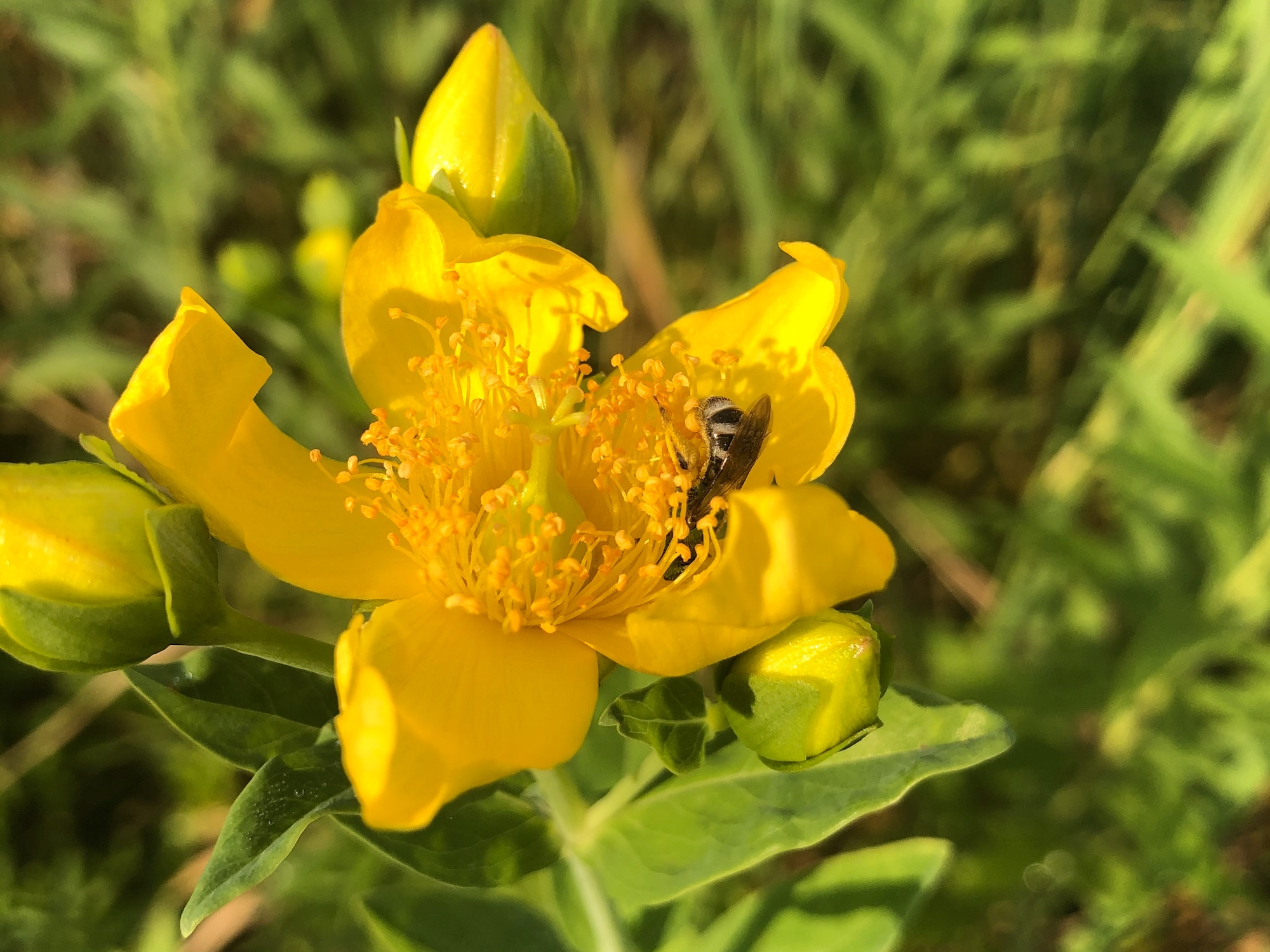 Bee on Great St. John's Wort on July 09, 2020.