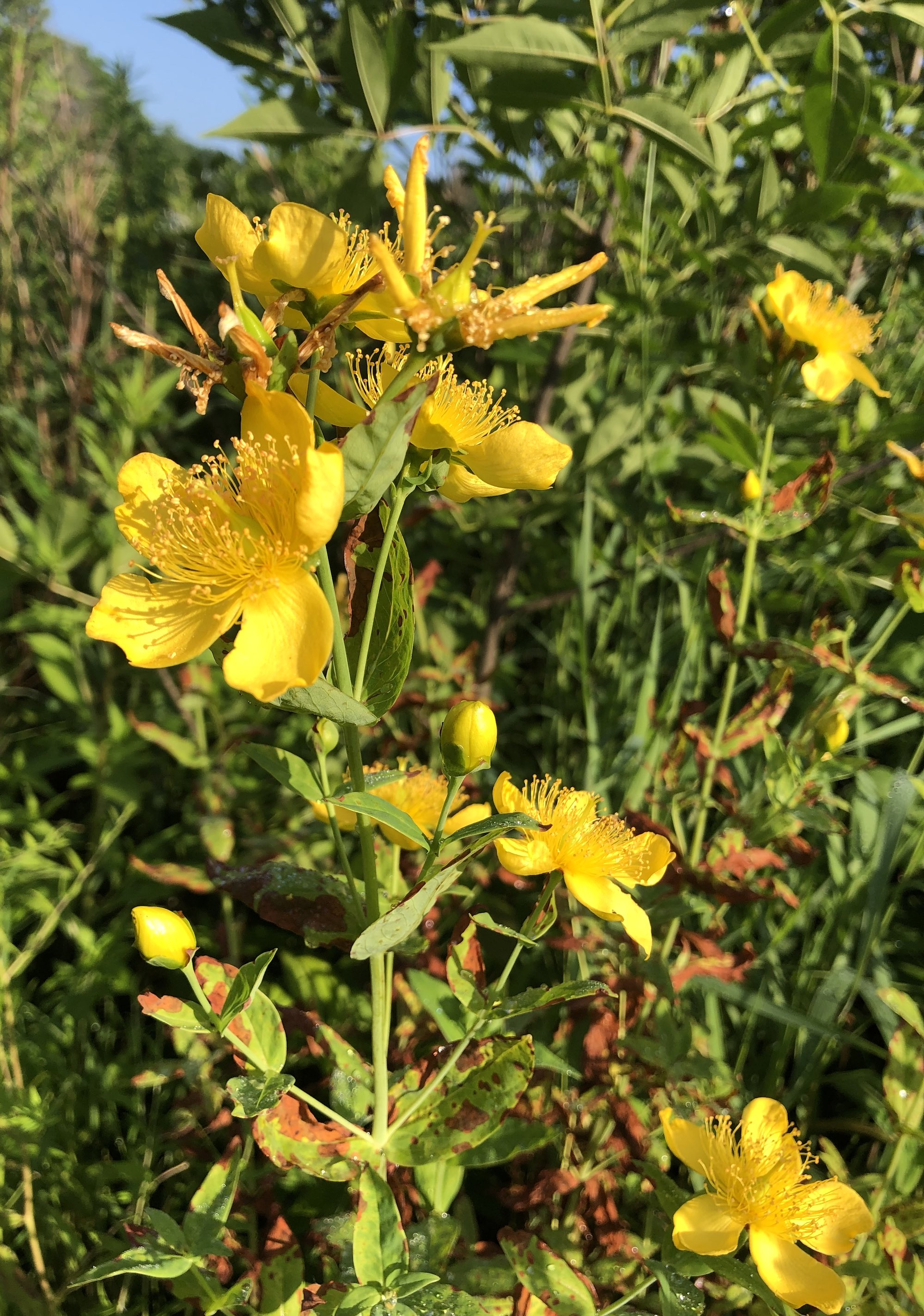 Great St. John's wort on bank of Marion Dunn Pond on July 10, 2019.