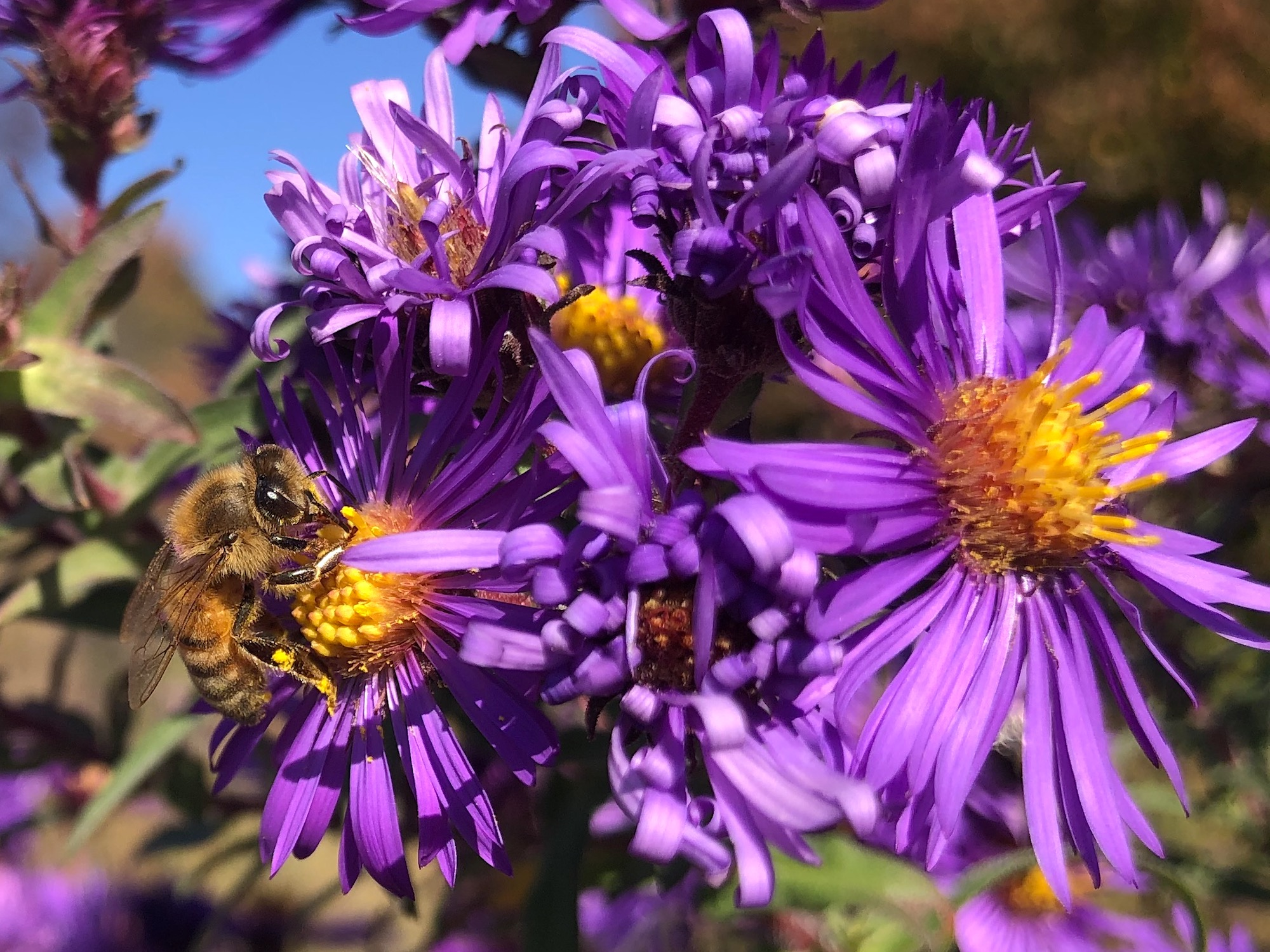 New England Aster.