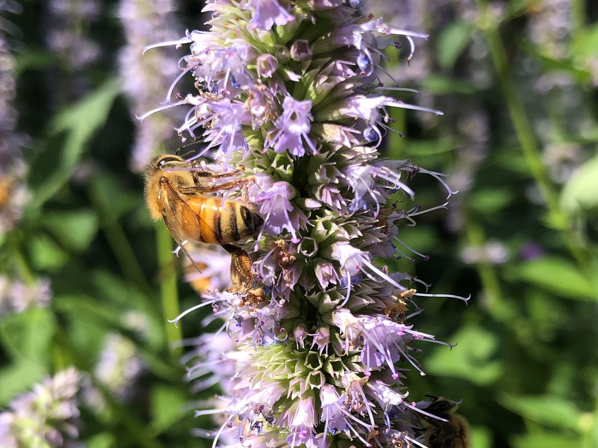 Honeybee on Hyssop on August 18, 2020.