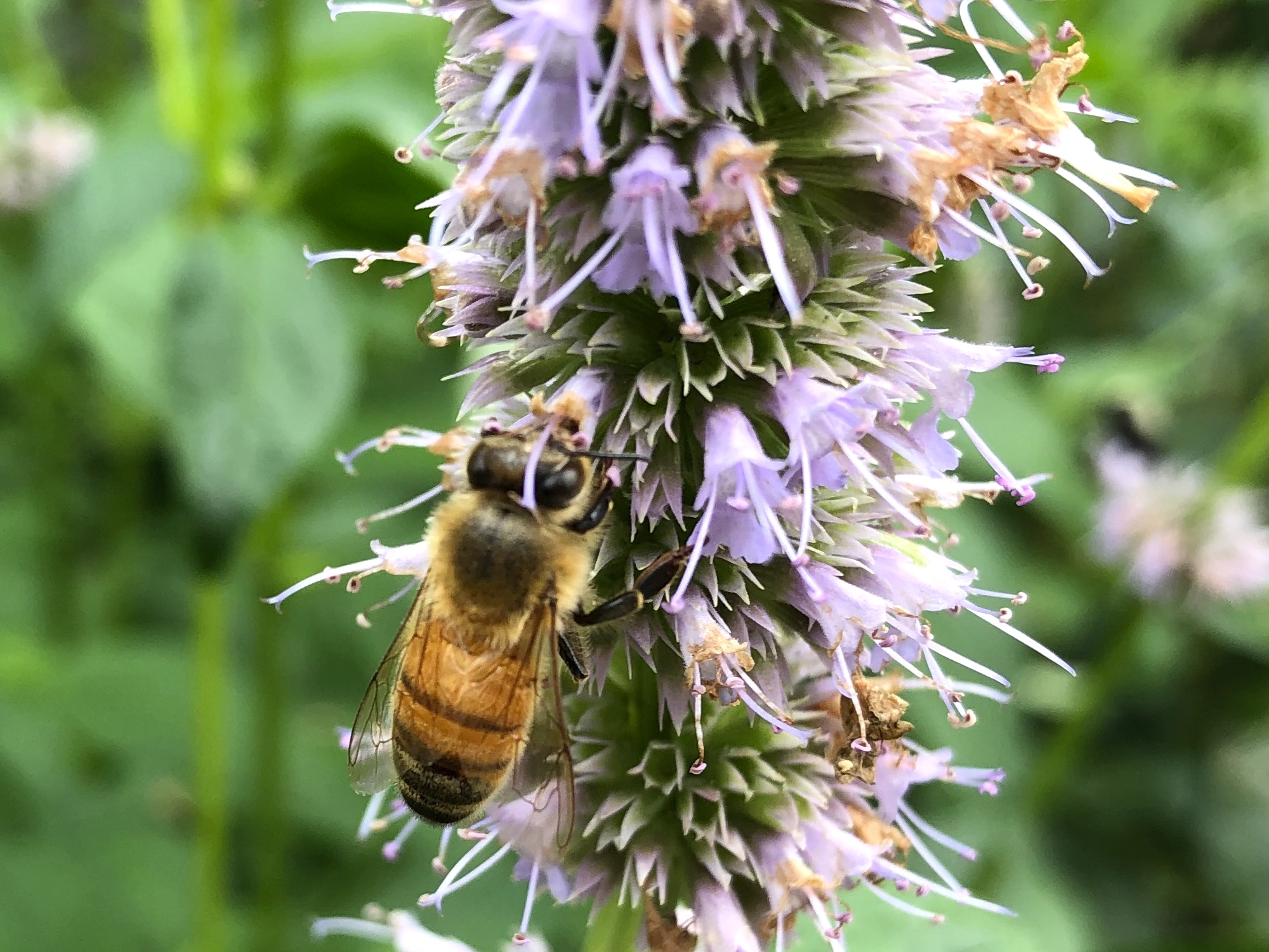 Bee on Hyssop on August 15, 2020.