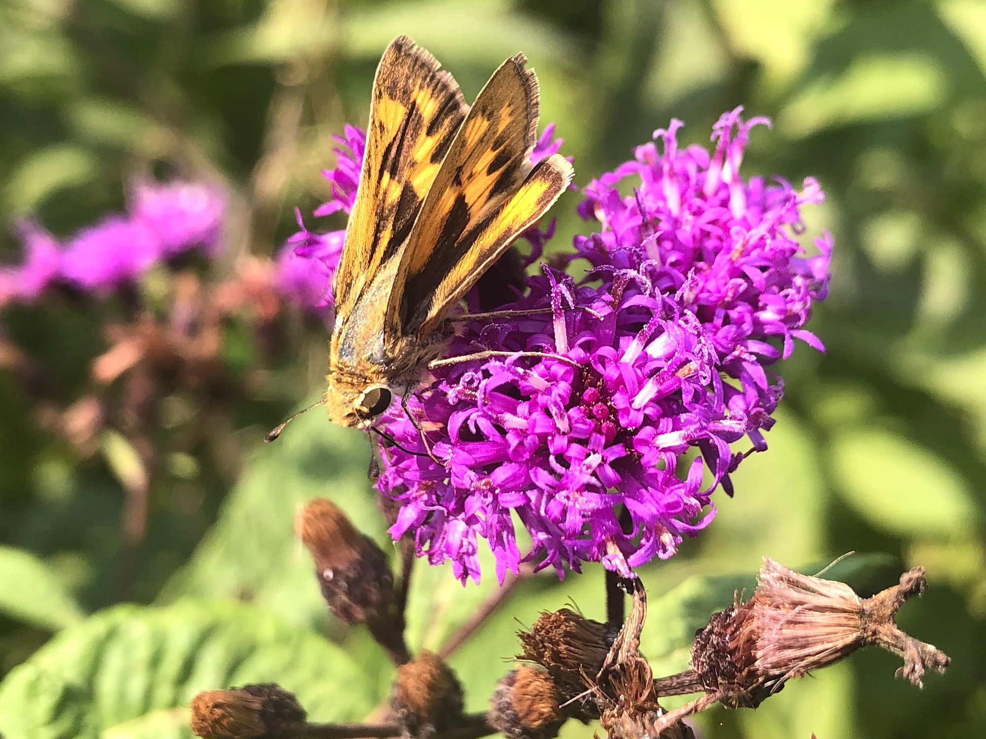 Fiery Skipper on Ironweed on September 15, 2020.