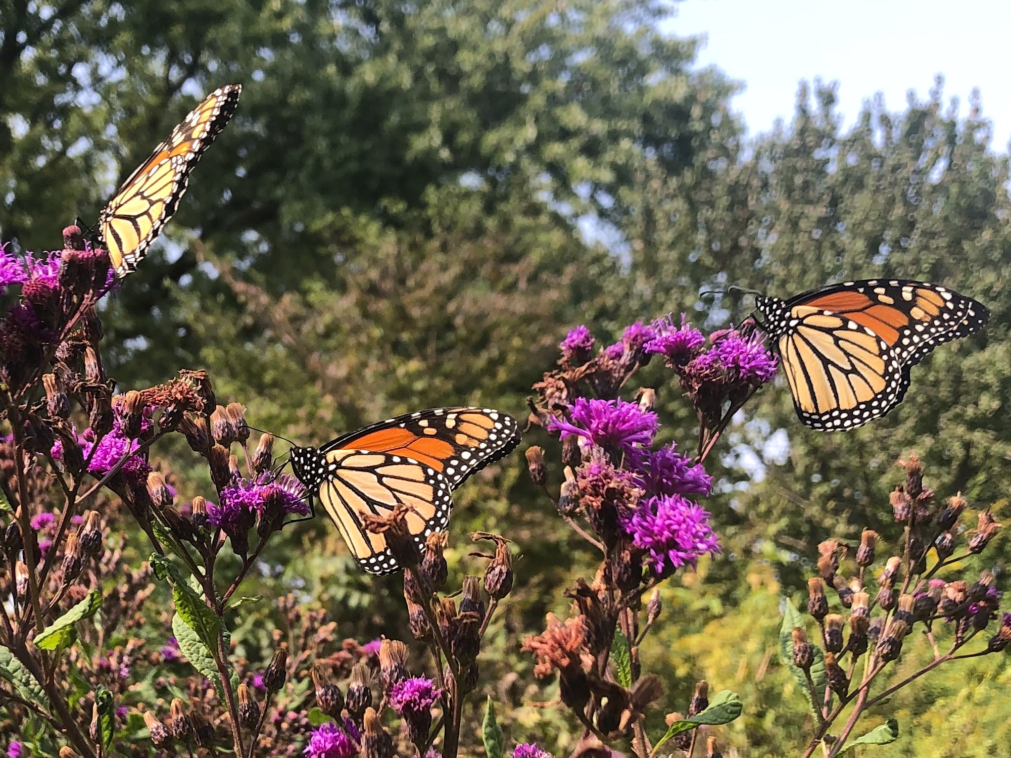 Monarchs on Ironweed on September 15, 2020.