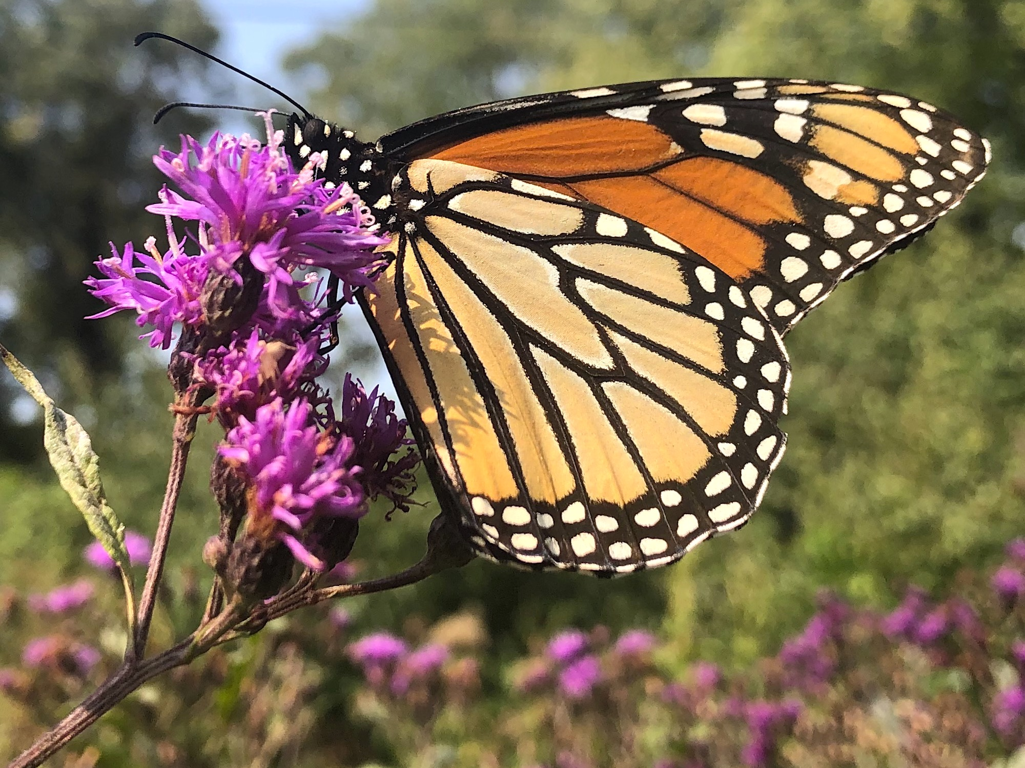 Monarch on 9 feet tall Ironweed on September 15, 2020.